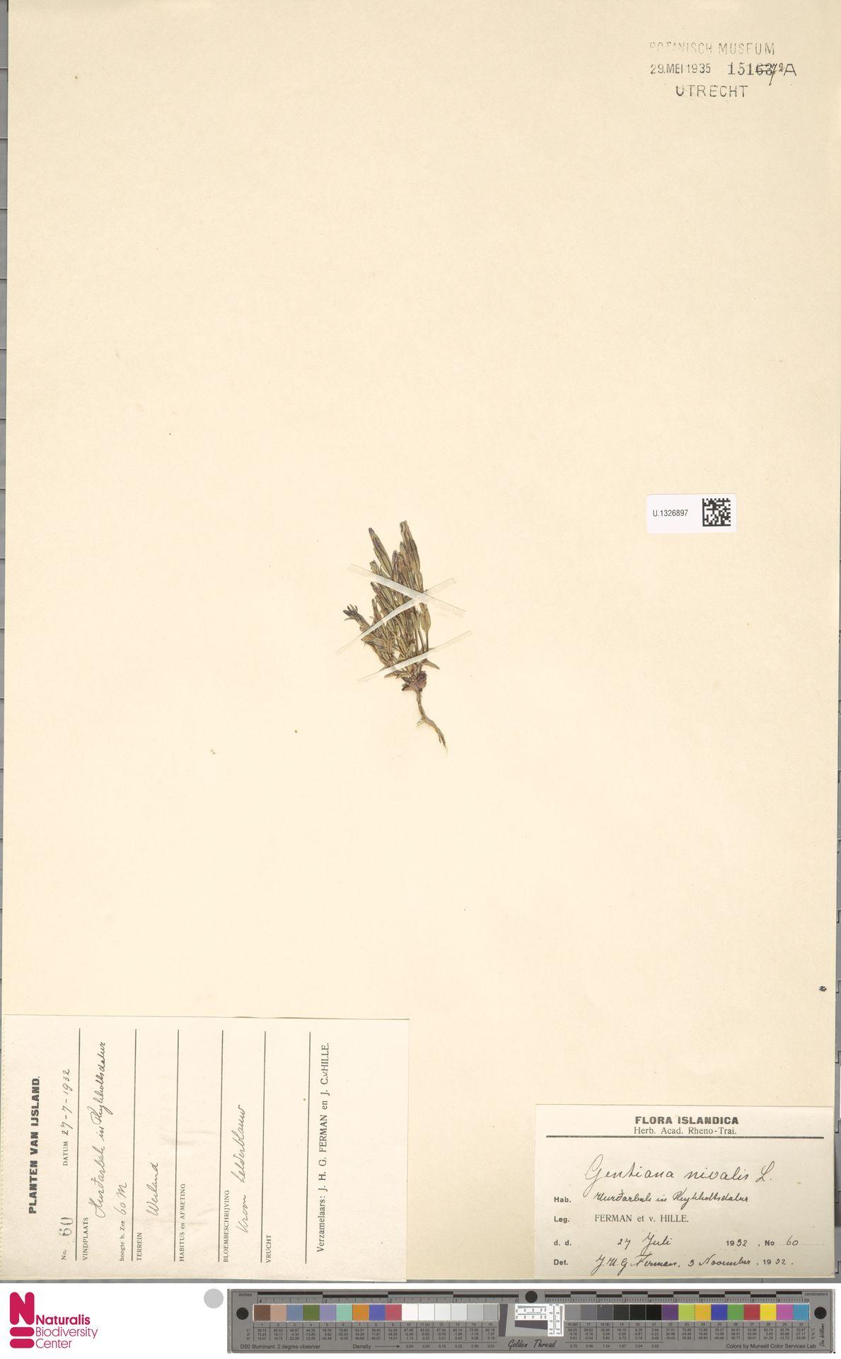 U.1326897   Gentiana nivalis L.