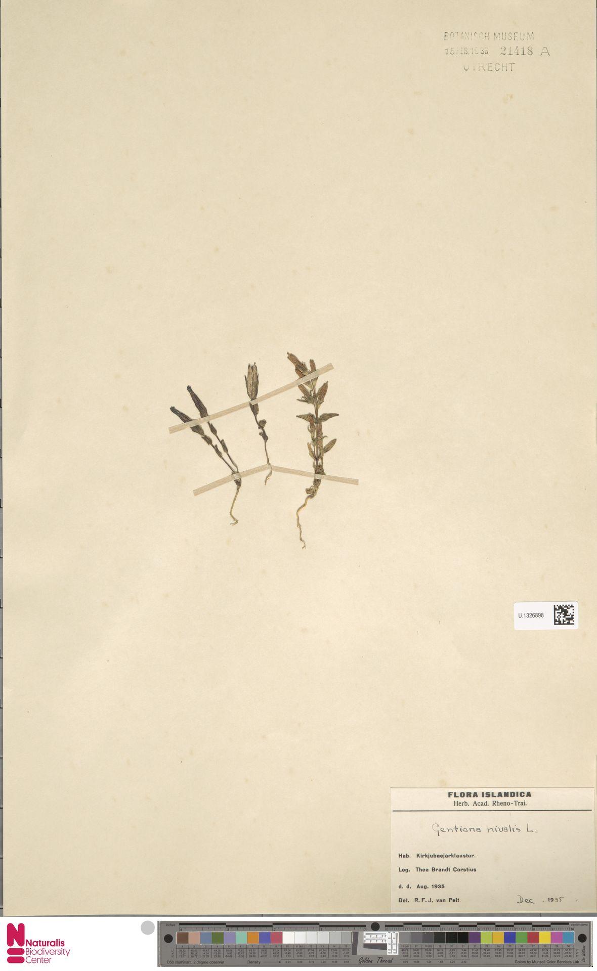 U.1326898 | Gentiana nivalis L.