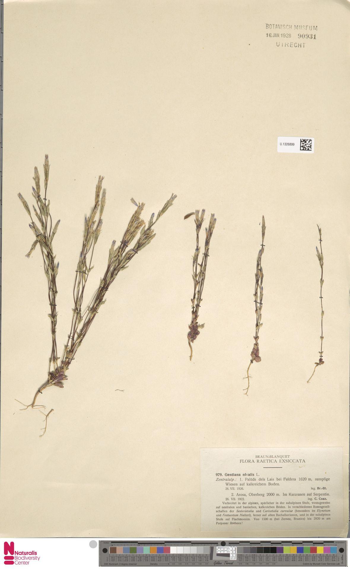U.1326899 | Gentiana nivalis L.