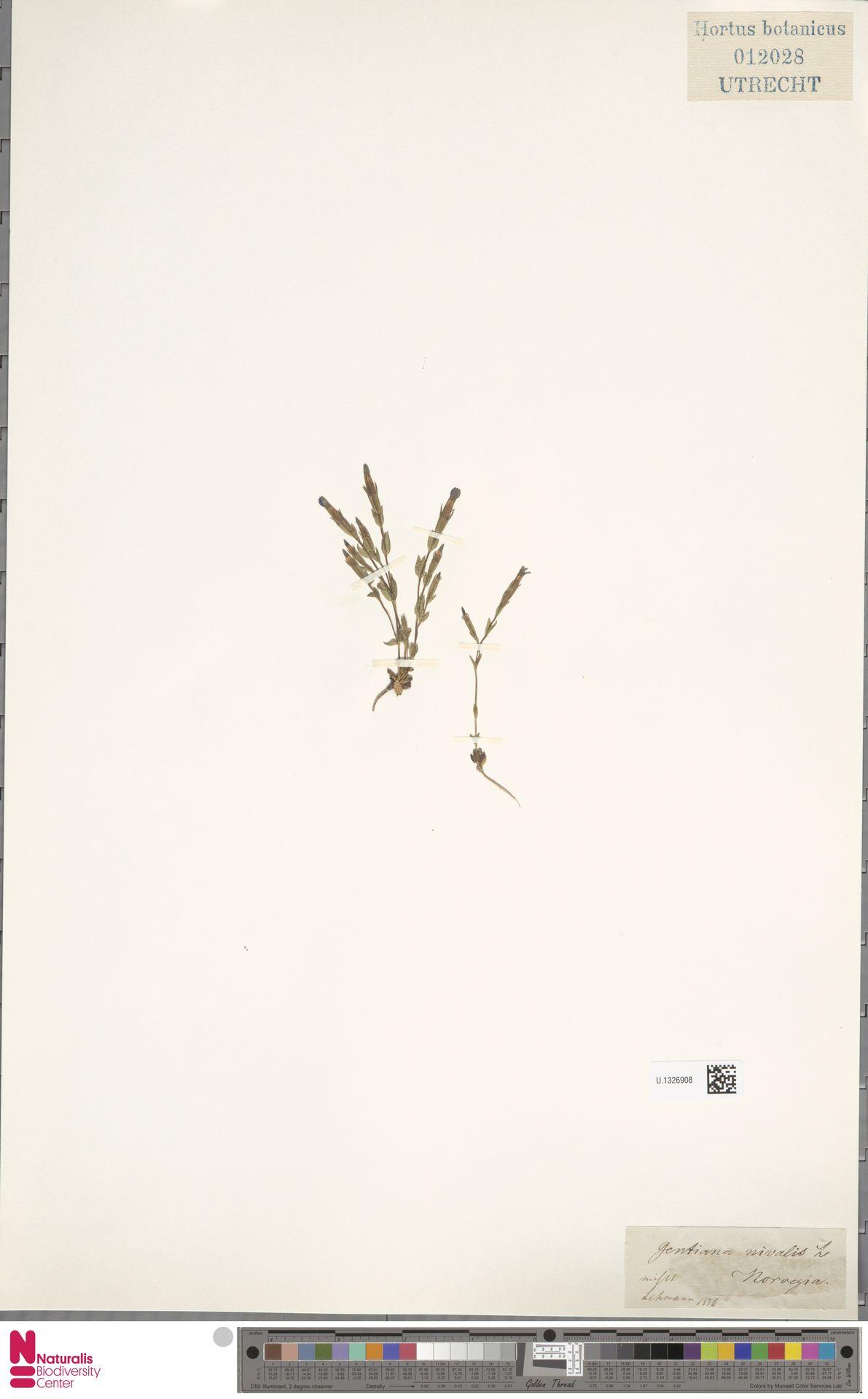 U.1326908   Gentiana nivalis L.
