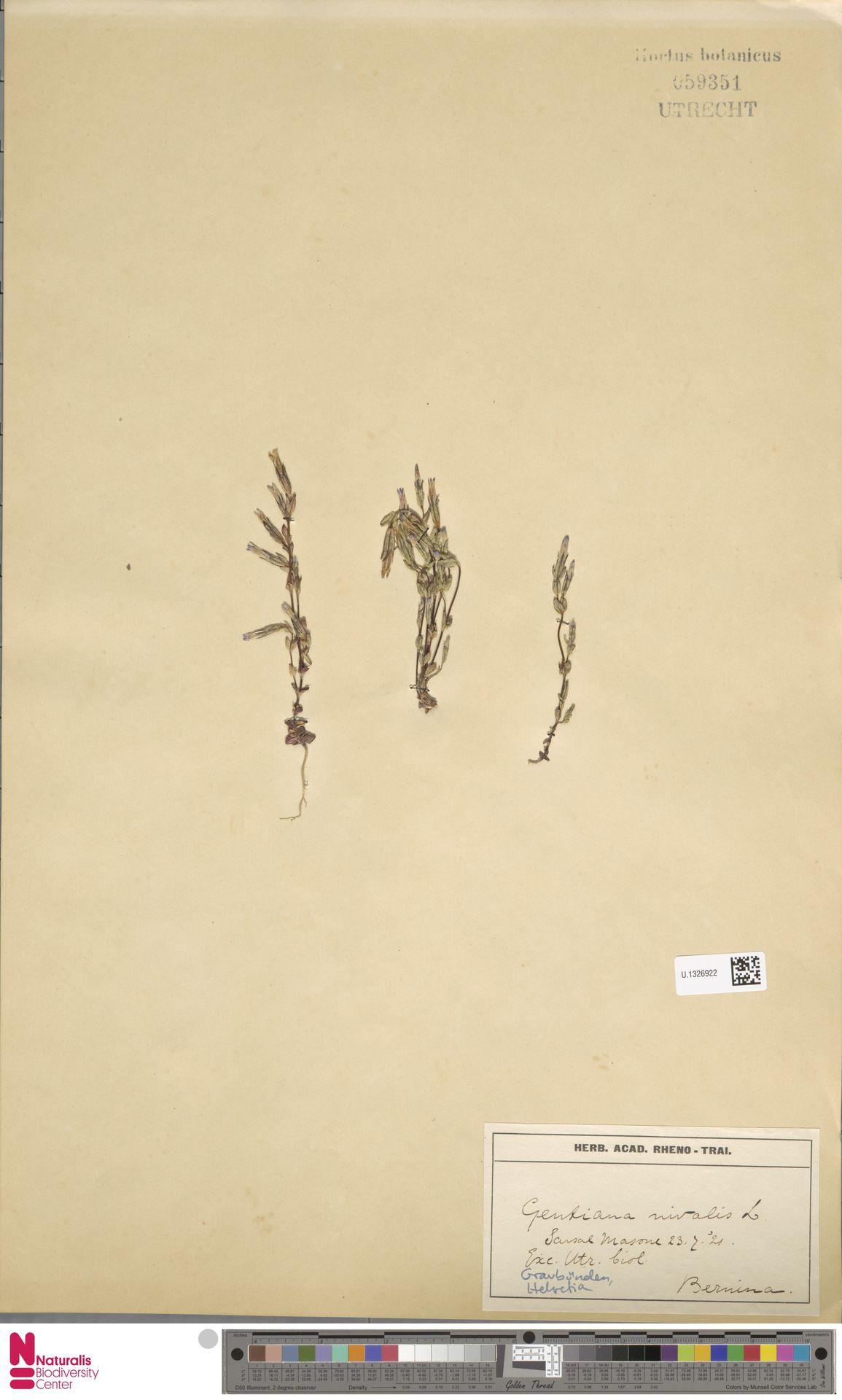 U.1326922   Gentiana nivalis L.