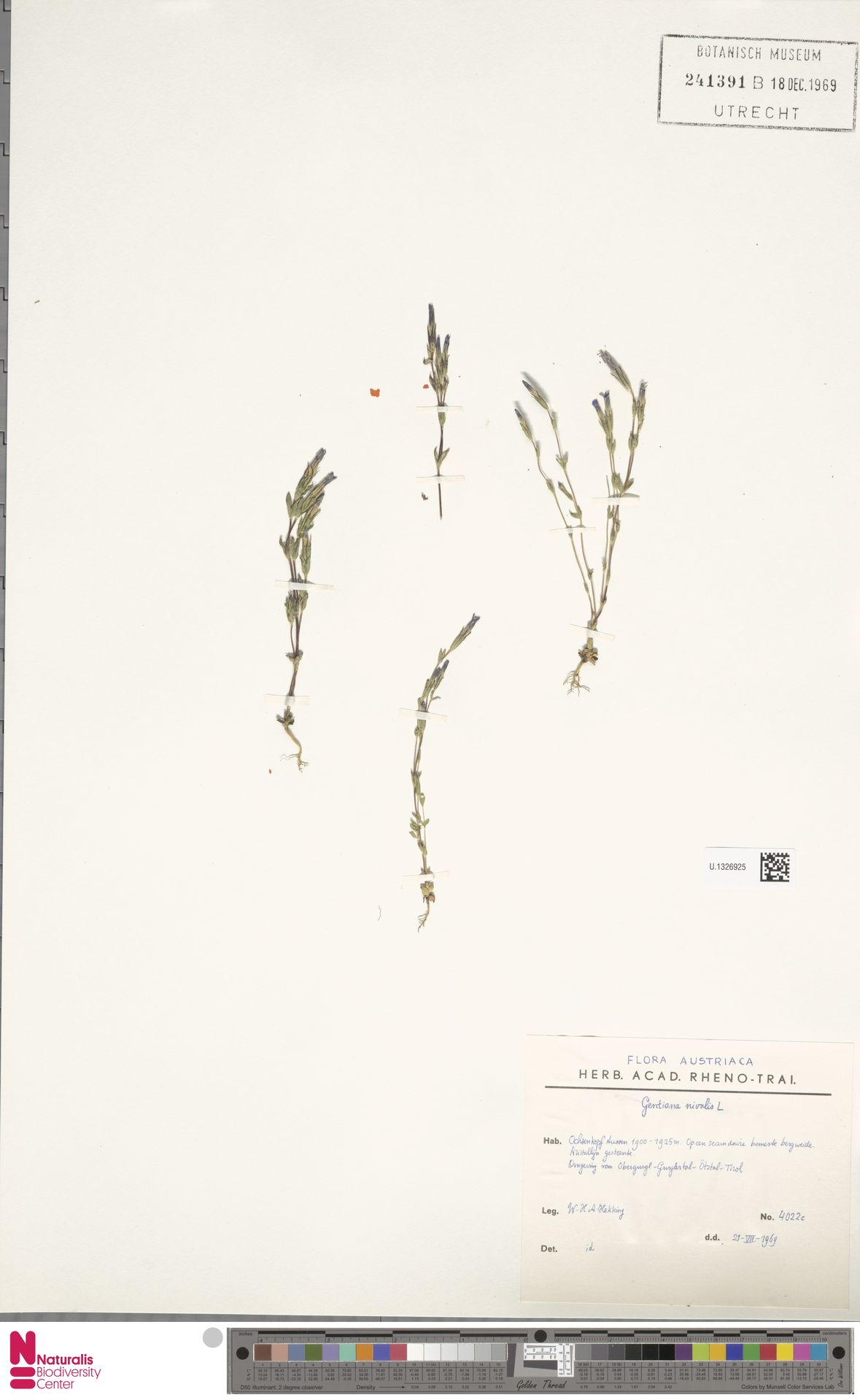 U.1326925 | Gentiana nivalis L.