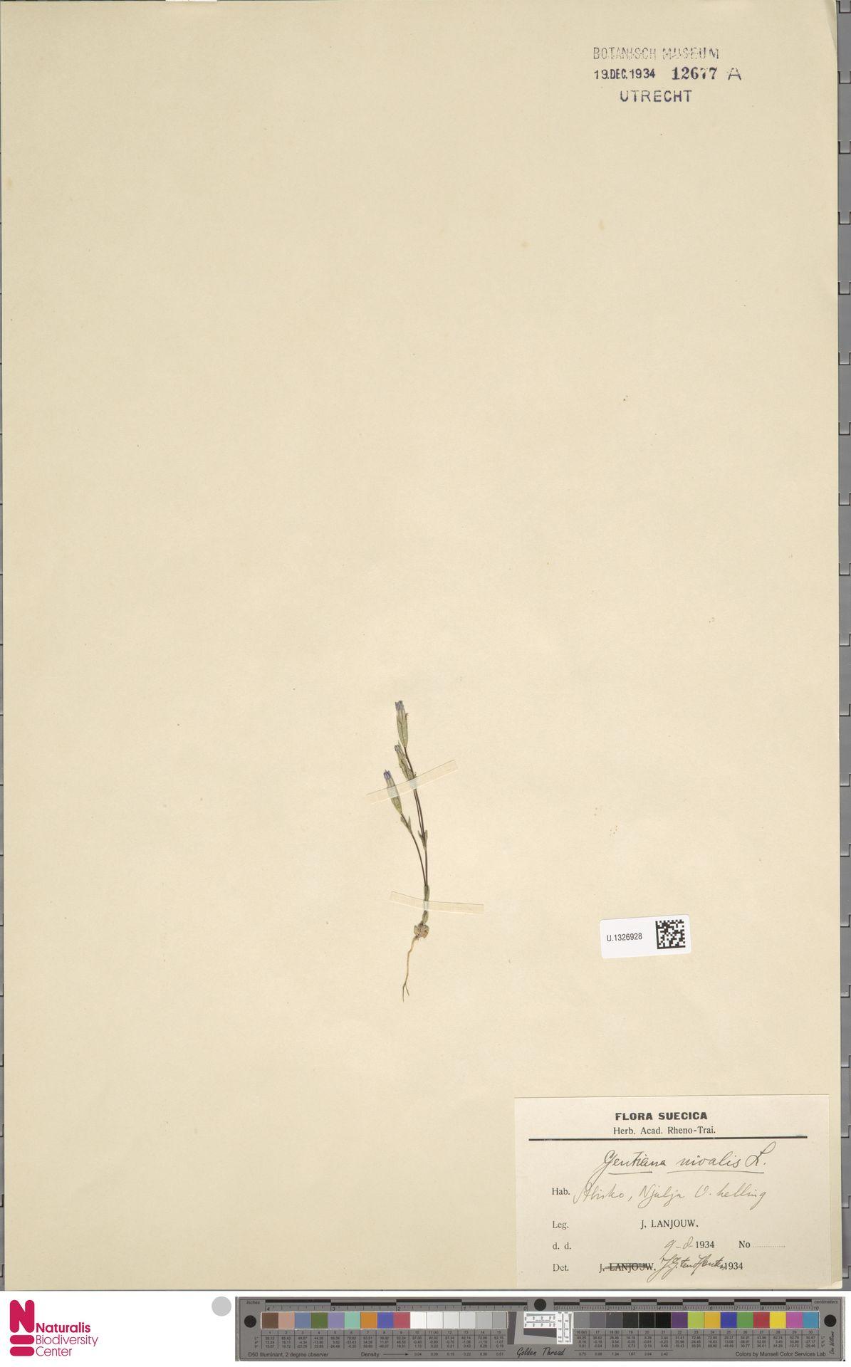 U.1326928 | Gentiana nivalis L.