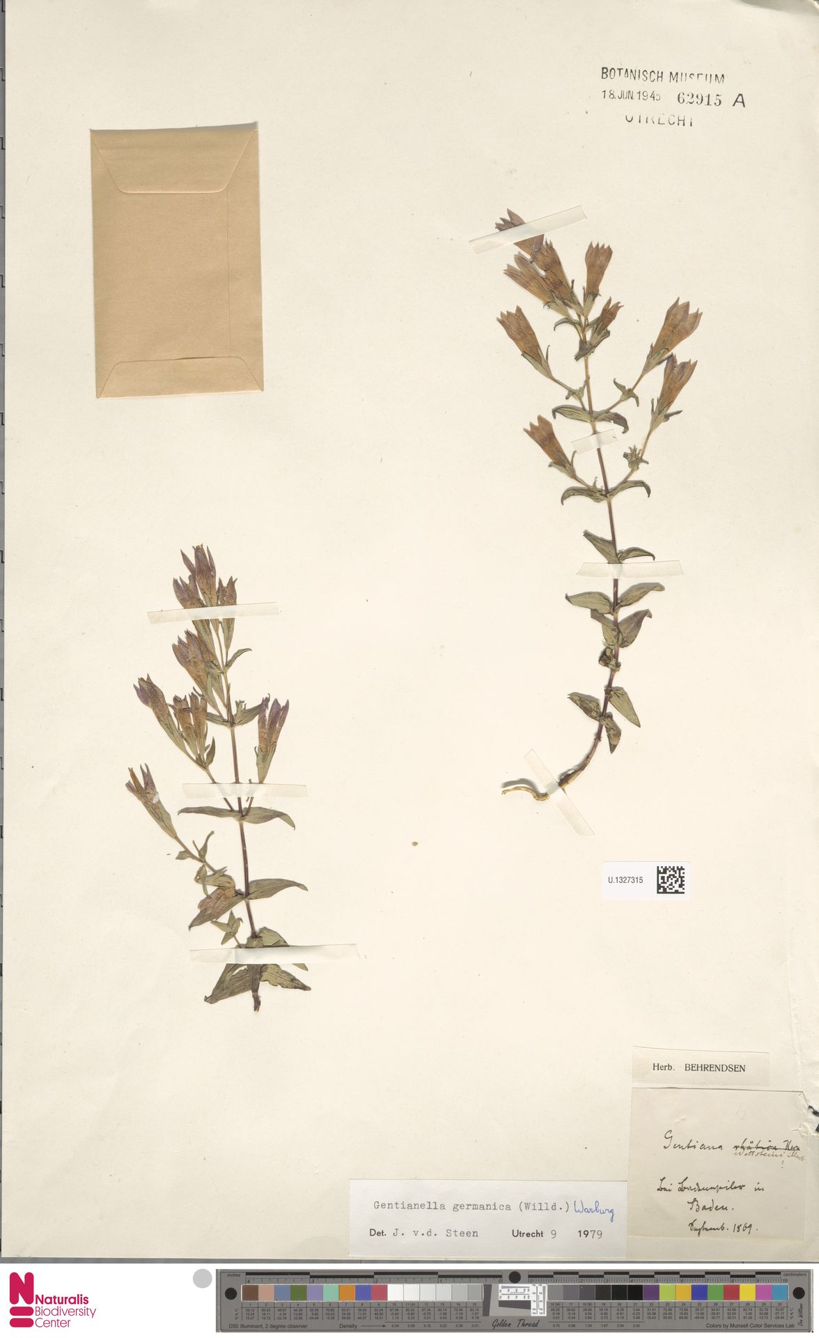 U.1327315 | Gentianella germanica (Willd.) E.F.Warb.