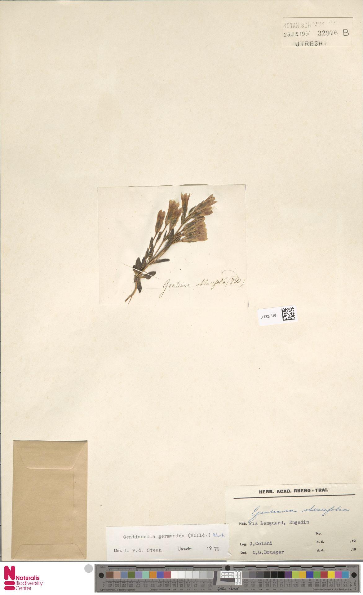 U.1327316 | Gentianella germanica (Willd.) E.F.Warb.