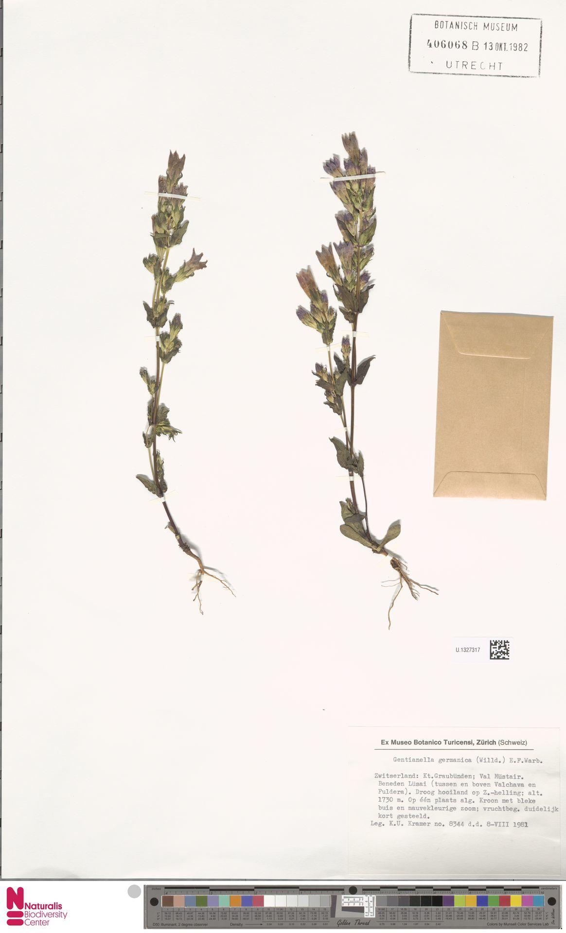 U.1327317   Gentianella germanica (Willd.) E.F.Warb.