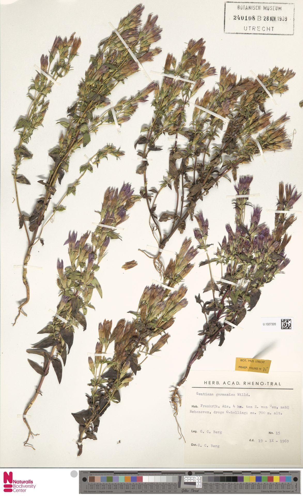 U.1327320 | Gentianella germanica (Willd.) E.F.Warb.