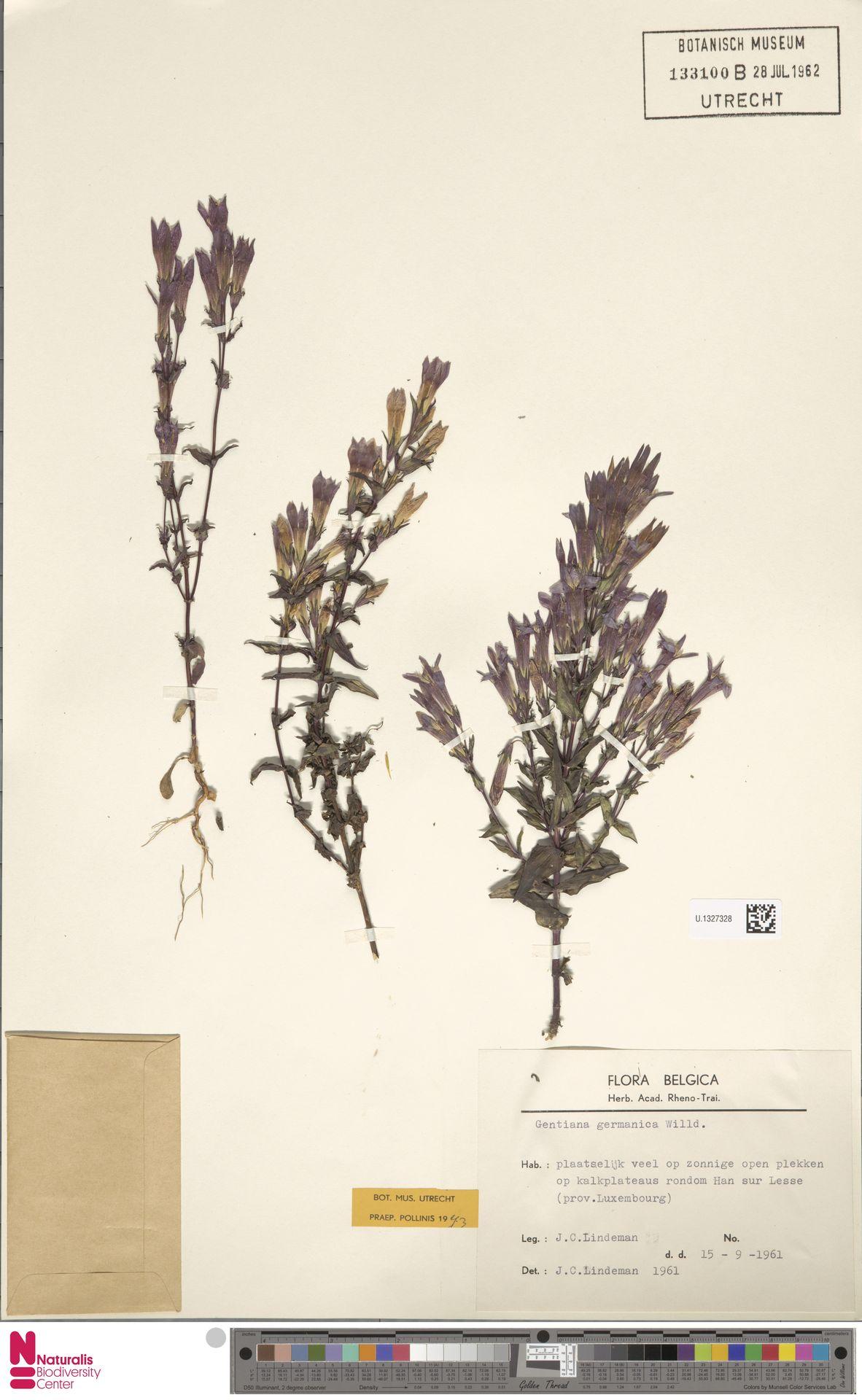 U.1327328 | Gentianella germanica (Willd.) E.F.Warb.