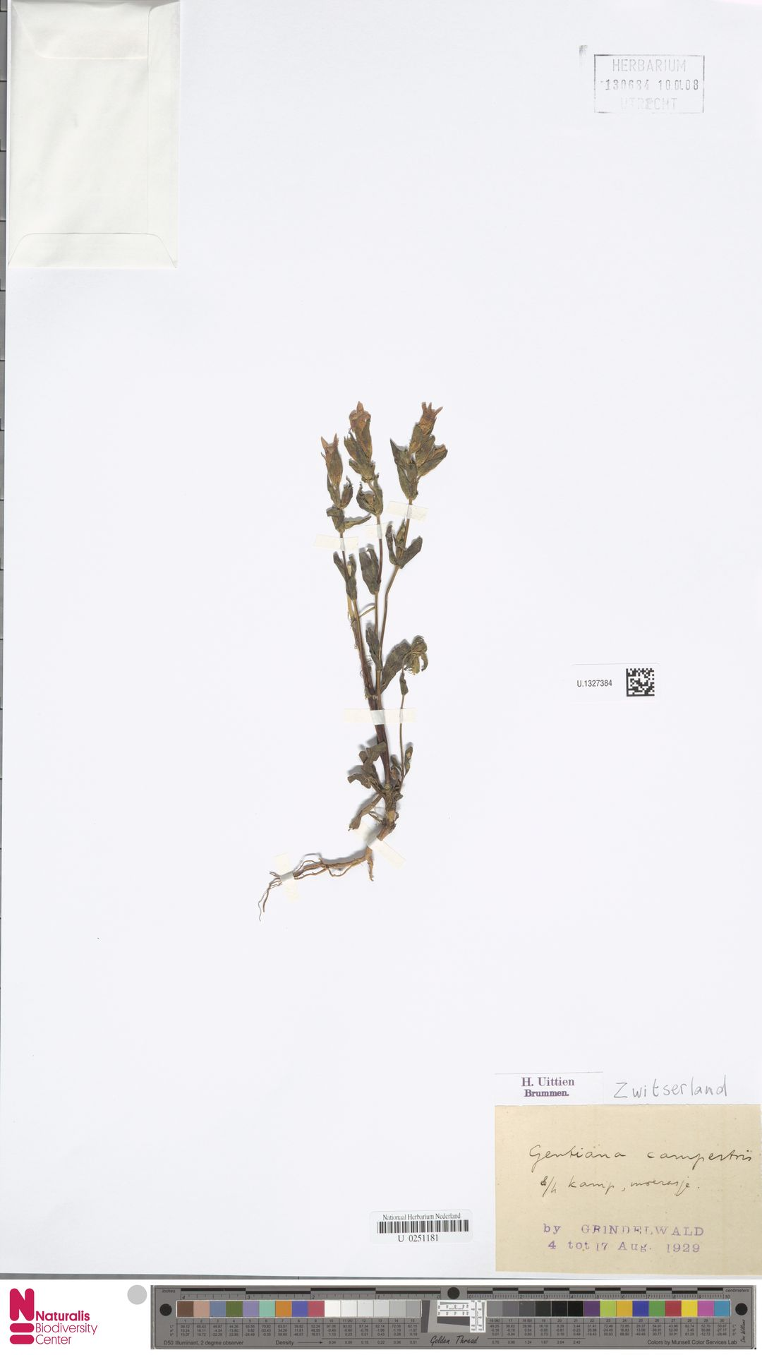 U.1327384   Gentianella campestris (L.) Börner