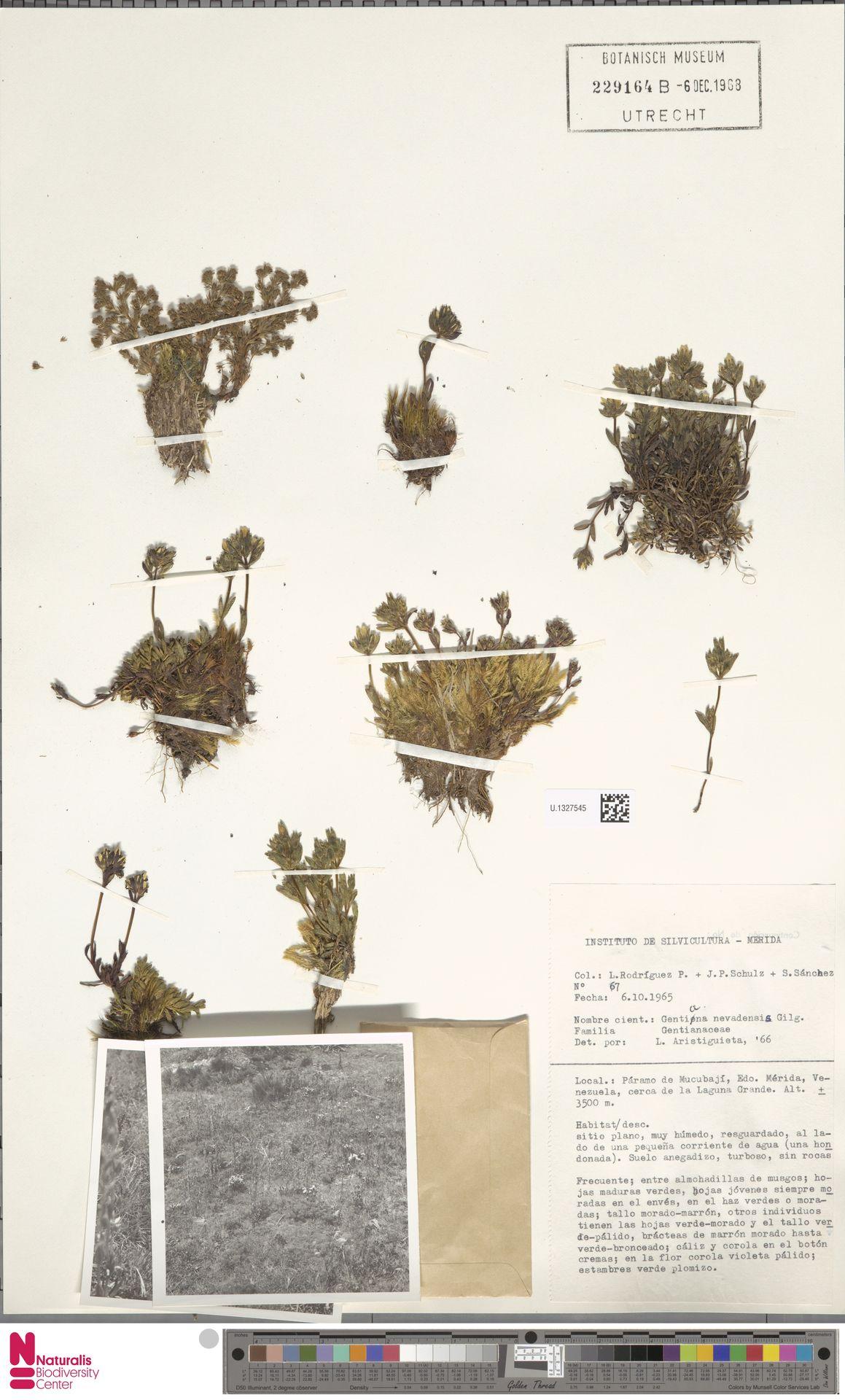 U.1327545 | Gentiana nevadensis Gilg