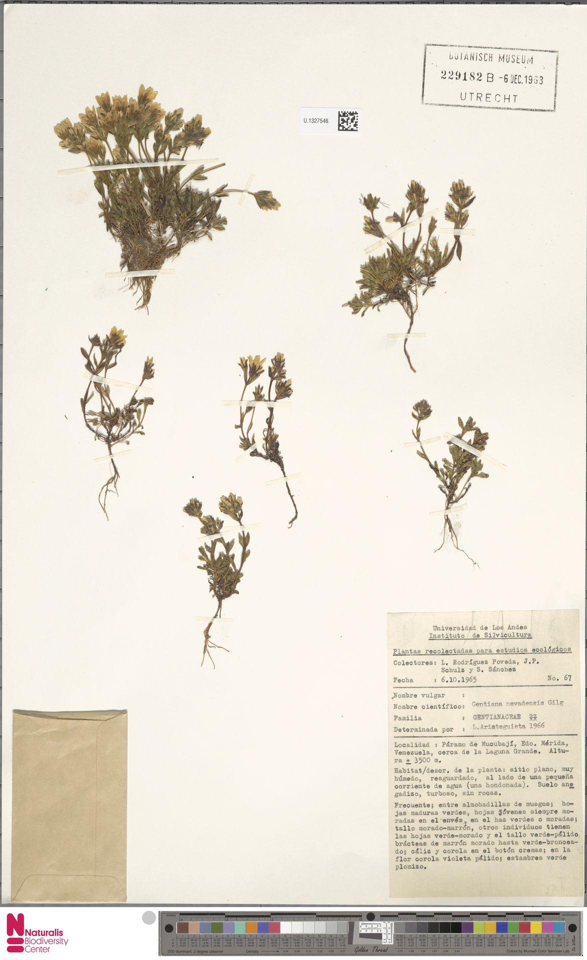 U.1327546 | Gentiana nevadensis Gilg