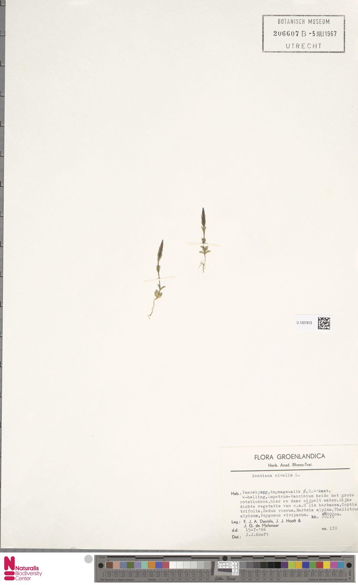 U.1327673 | Gentiana nivalis L.