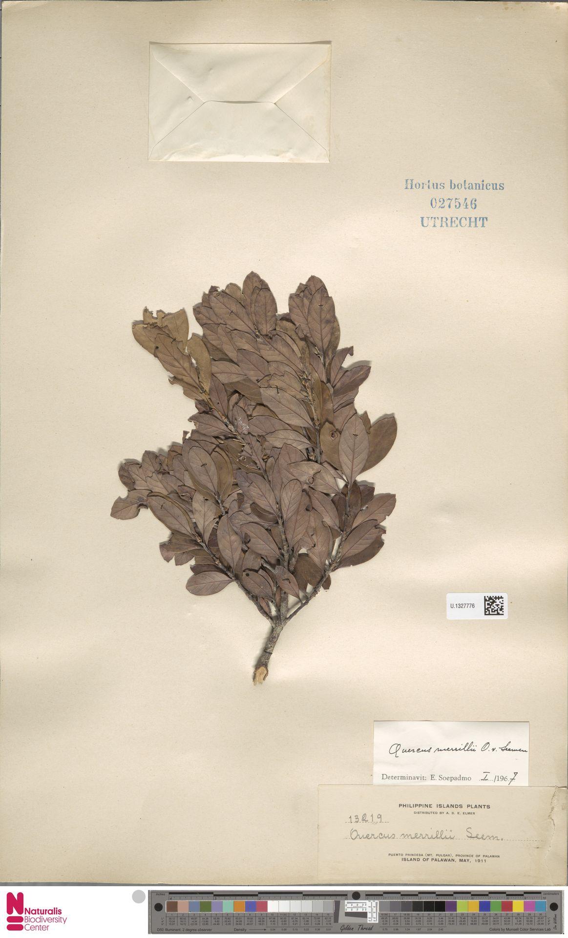 U.1327776 | Quercus merrillii Seemen