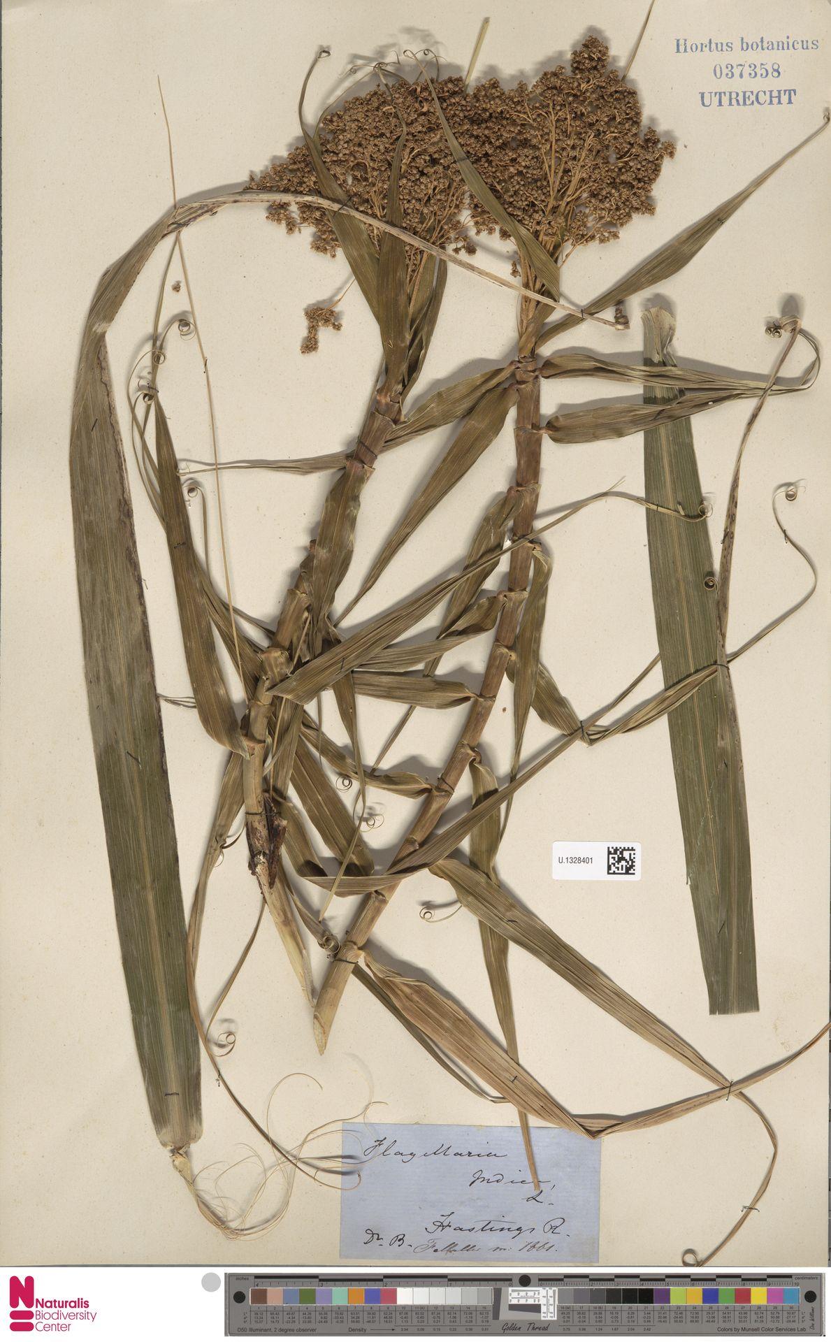 U.1328401 | Flagellaria indica L.