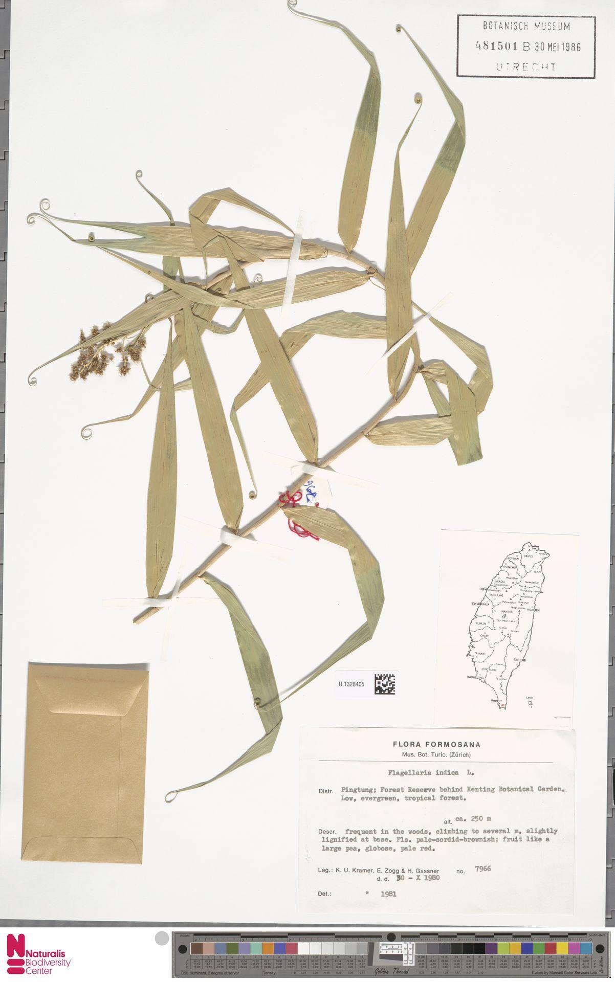 U.1328405 | Flagellaria indica L.