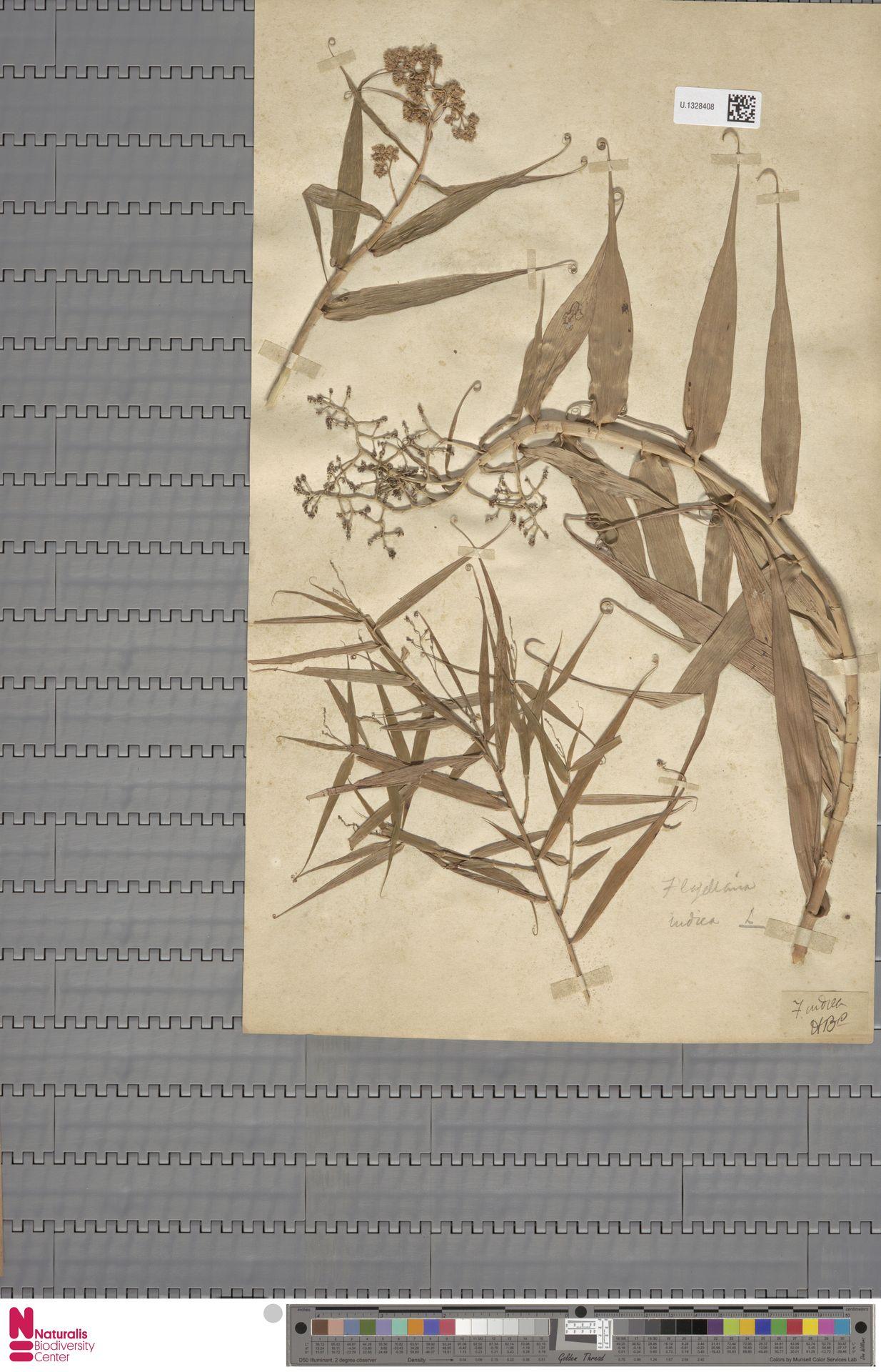 U.1328408 | Flagellaria indica L.