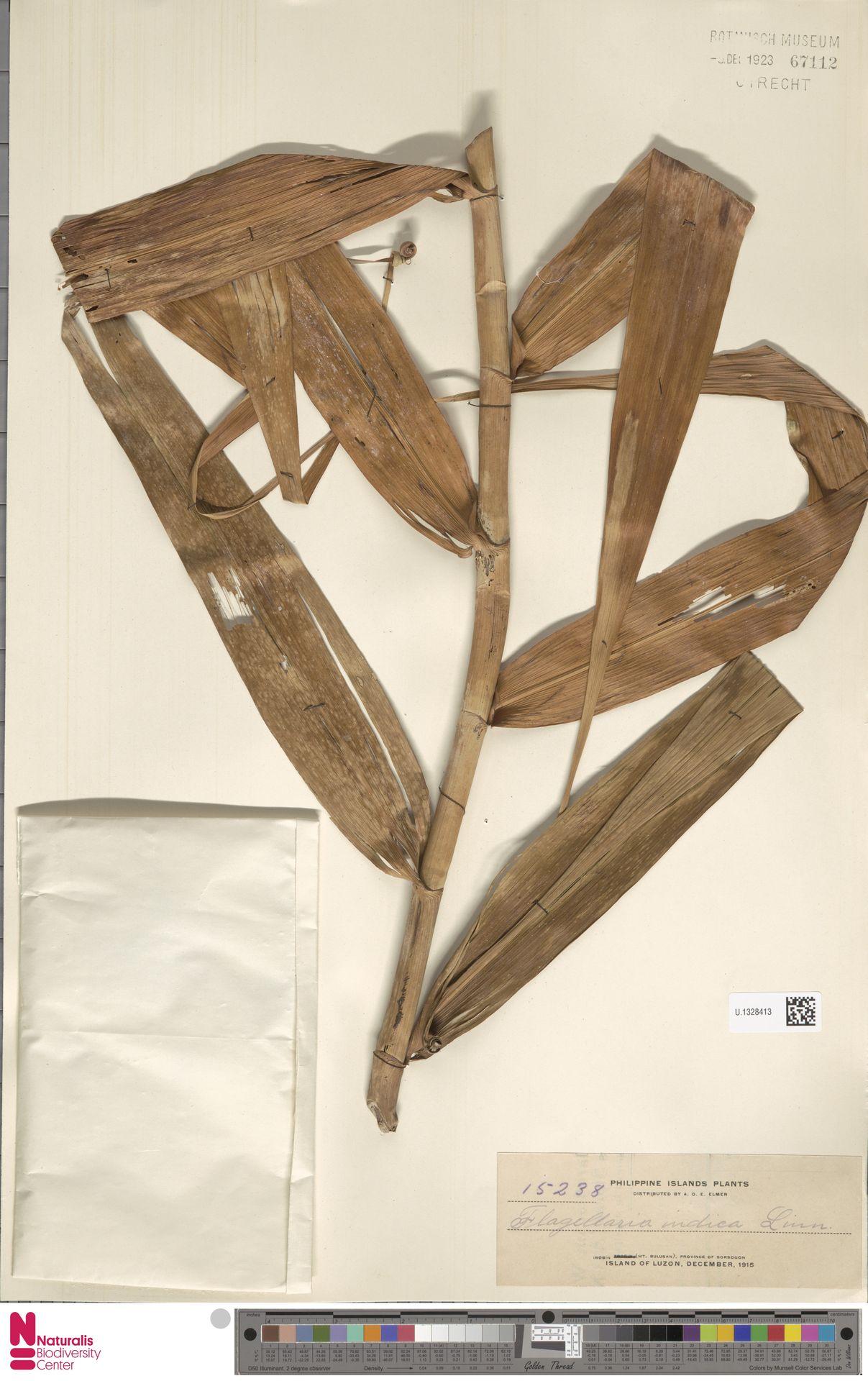 U.1328413 | Flagellaria indica L.