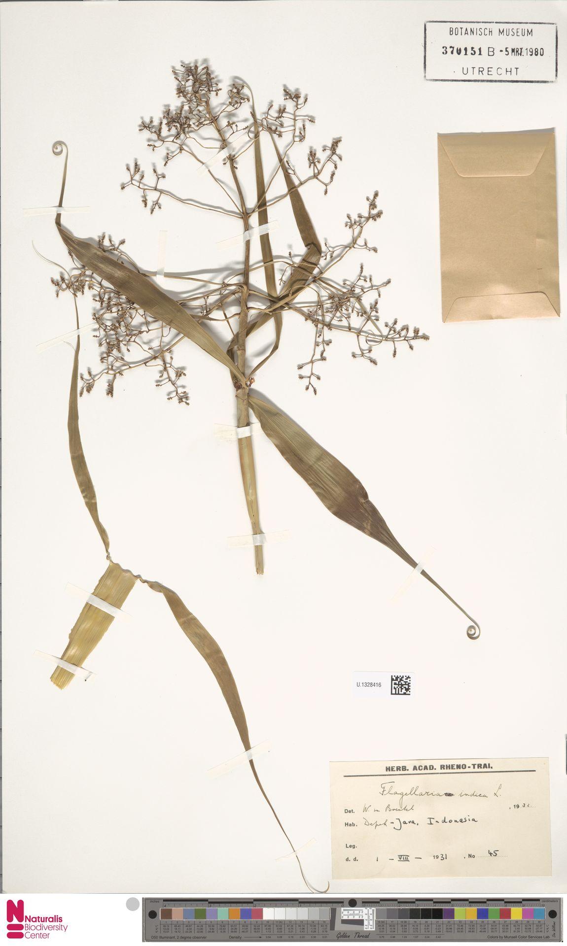 U.1328416 | Flagellaria indica L.