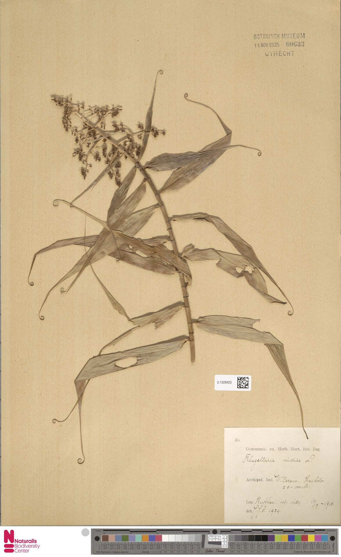 U.1328423 | Flagellaria indica L.