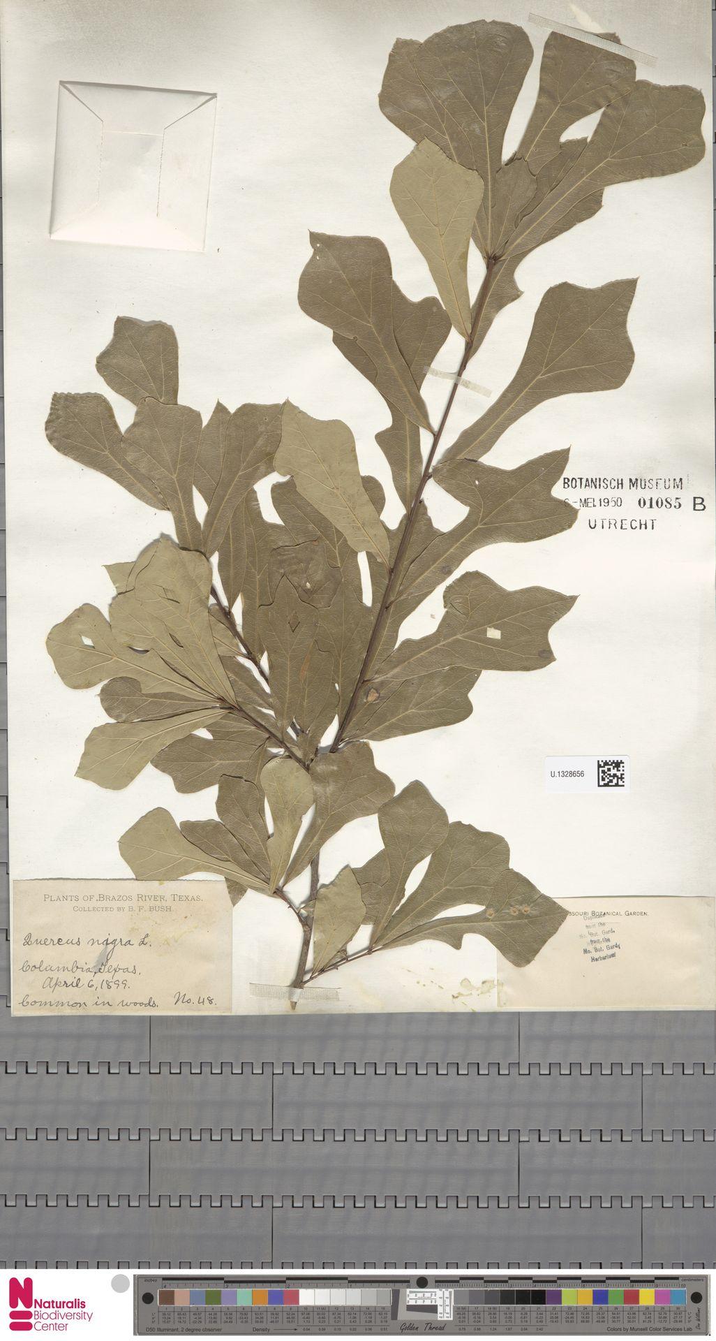 U.1328656   Quercus nigra L.