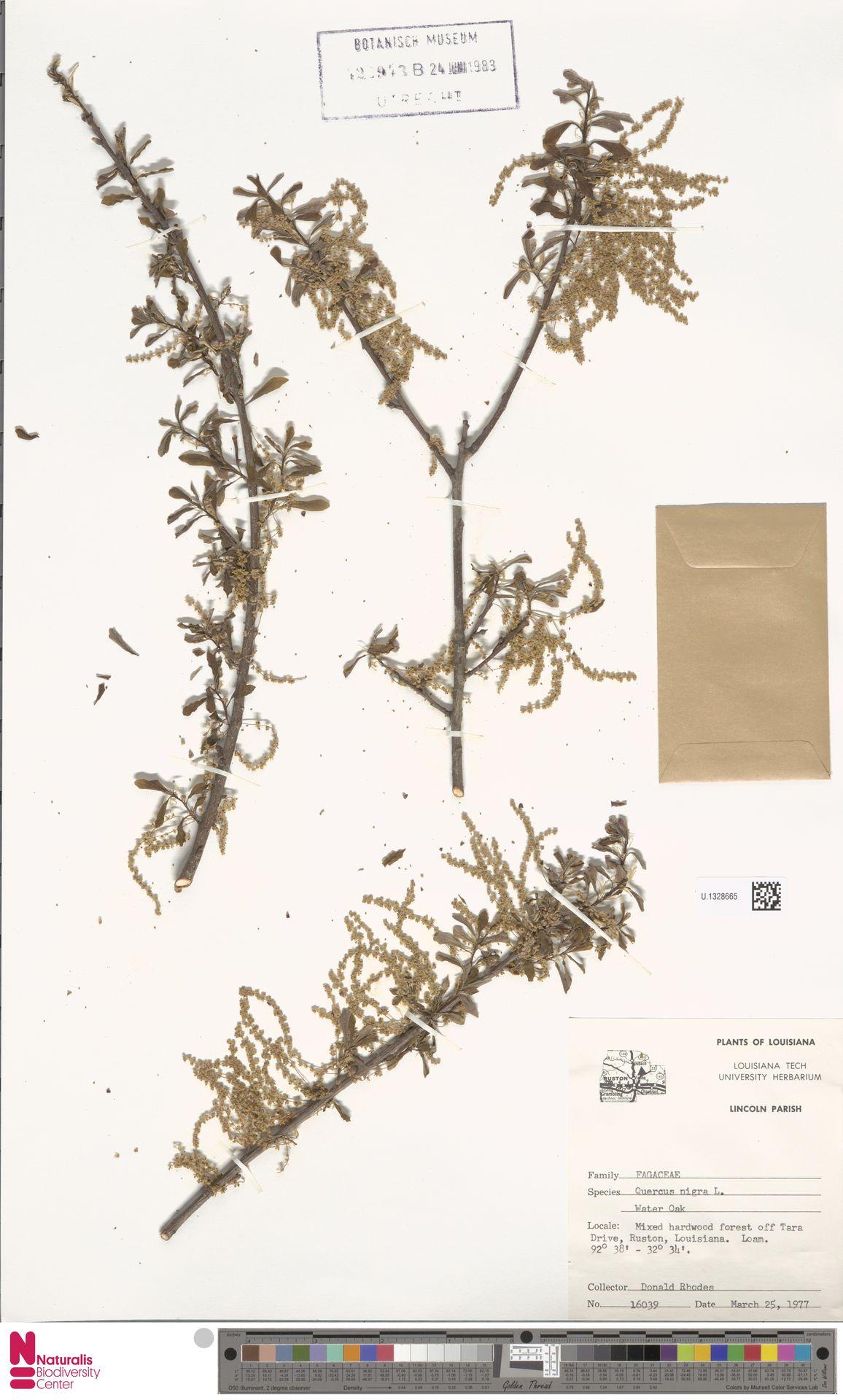 U.1328665 | Quercus nigra L.