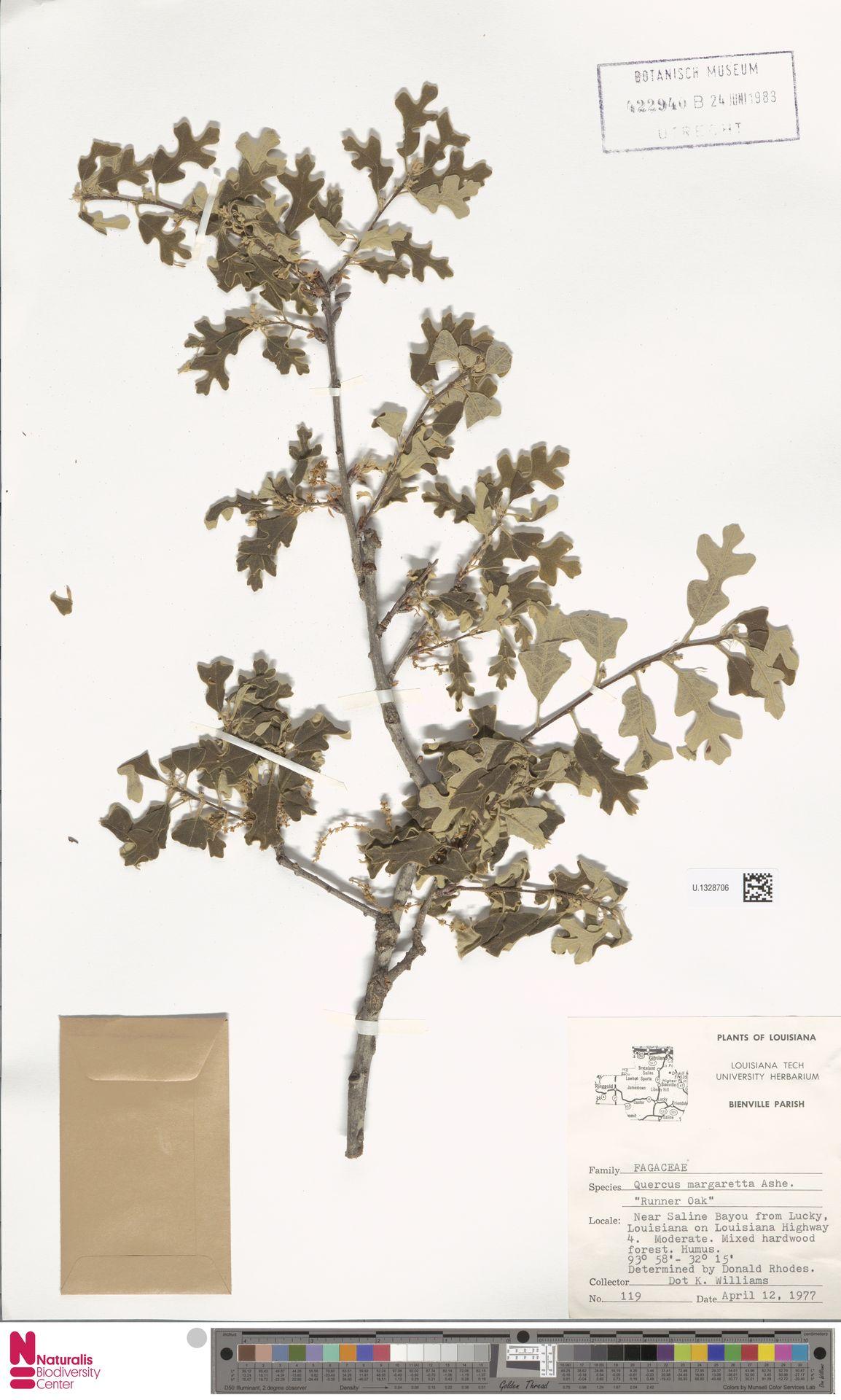 U.1328706 | Quercus margarettae (Ashe) Small