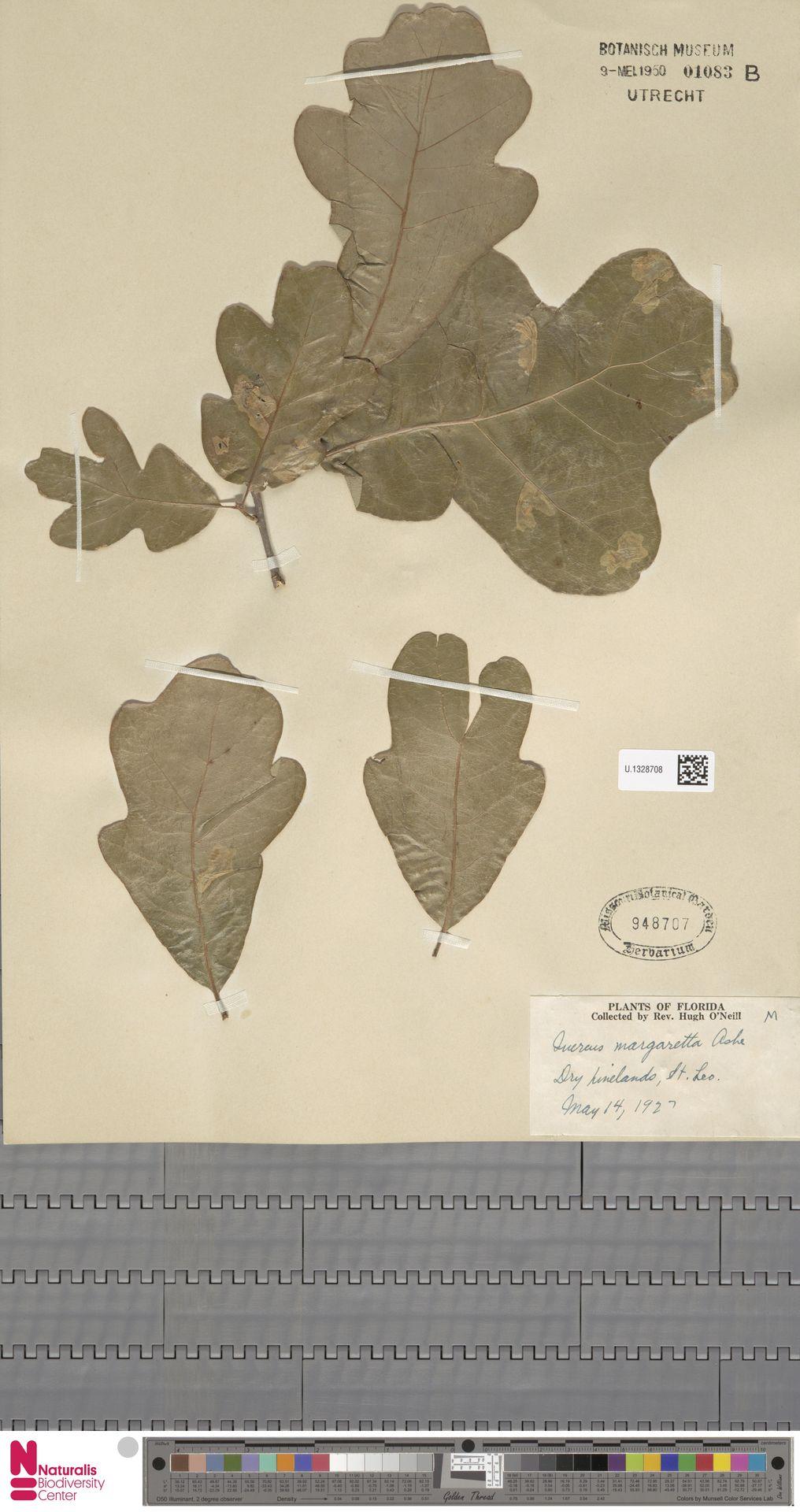 U.1328708 | Quercus margarettae (Ashe) Small