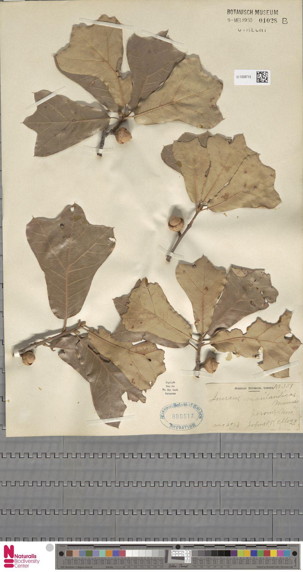 U.1328713 | Quercus marilandica Münchh.