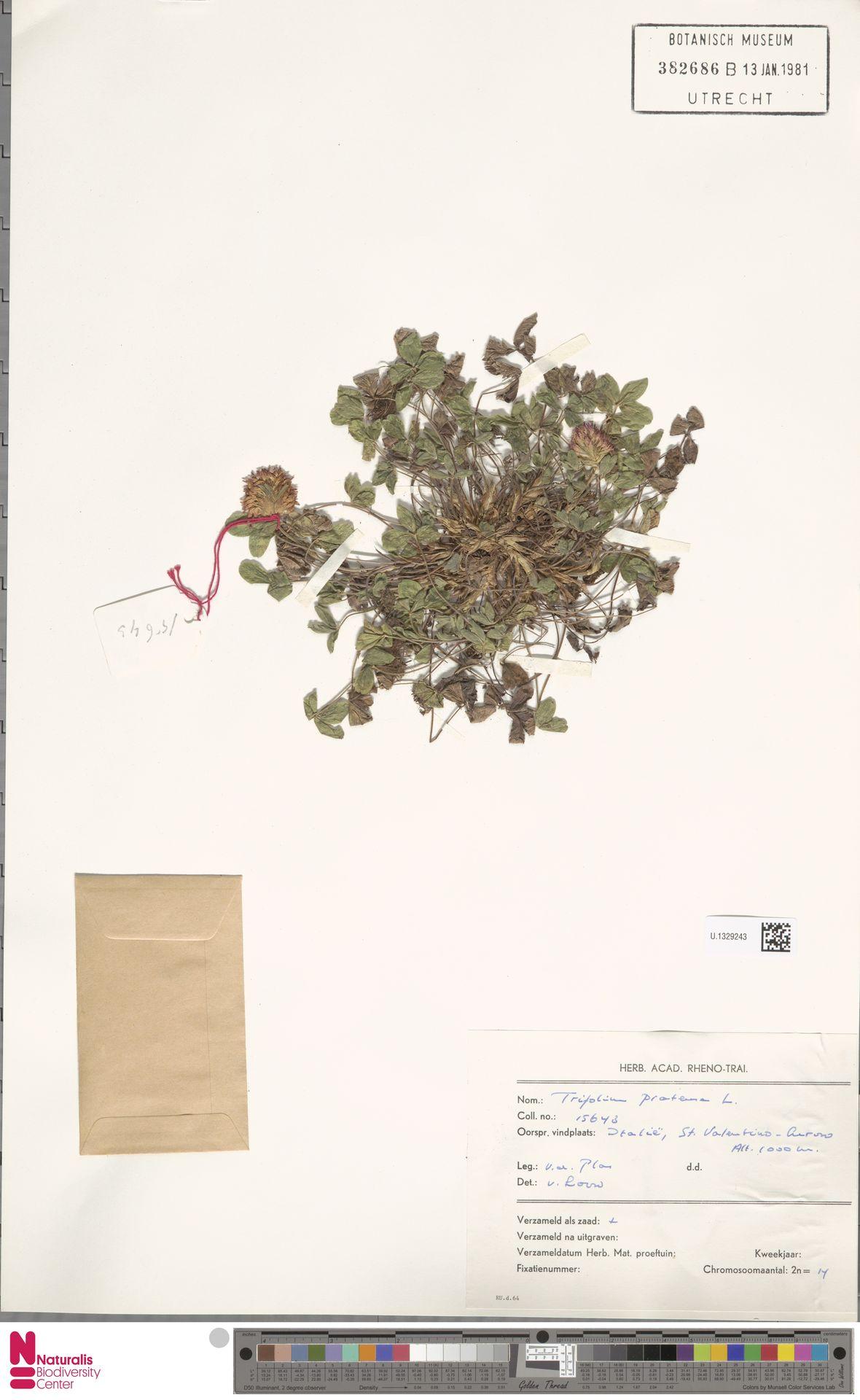 U.1329243 | Trifolium pratense L.