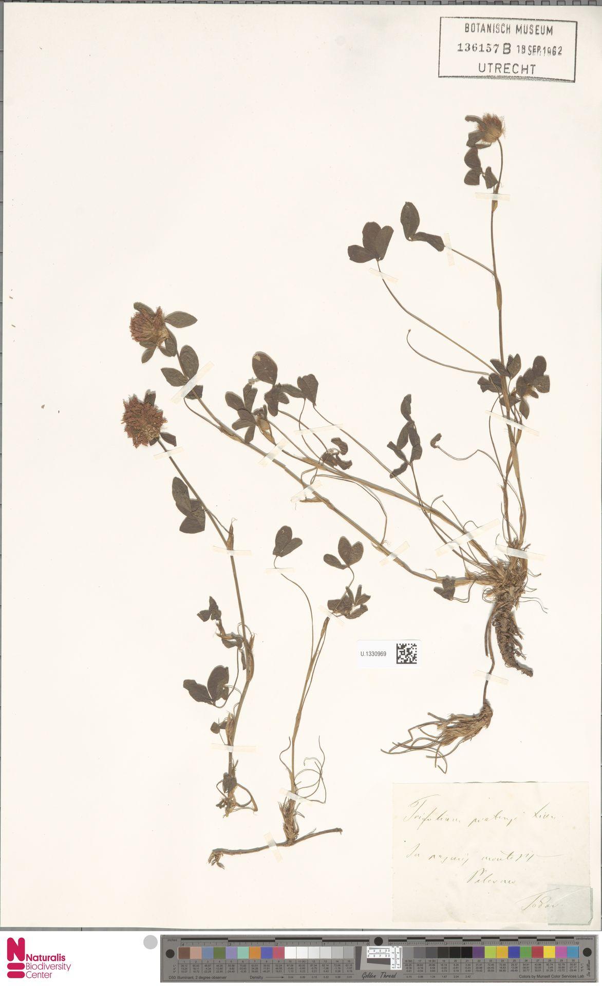 U.1330969 | Trifolium pratense L.