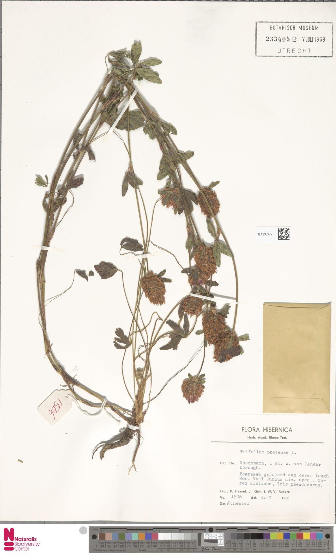 U.1330972   Trifolium pratense L.