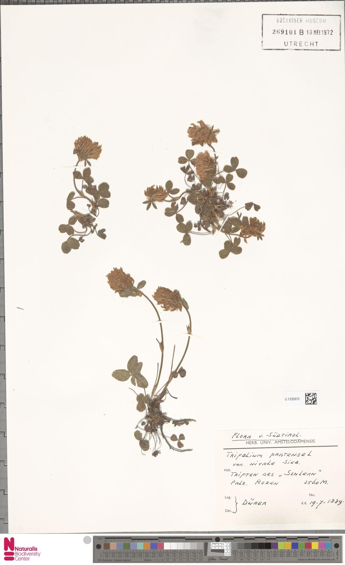 U.1330975   Trifolium pratense L.