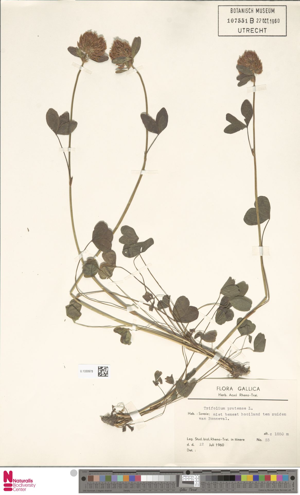 U.1330978 | Trifolium pratense L.
