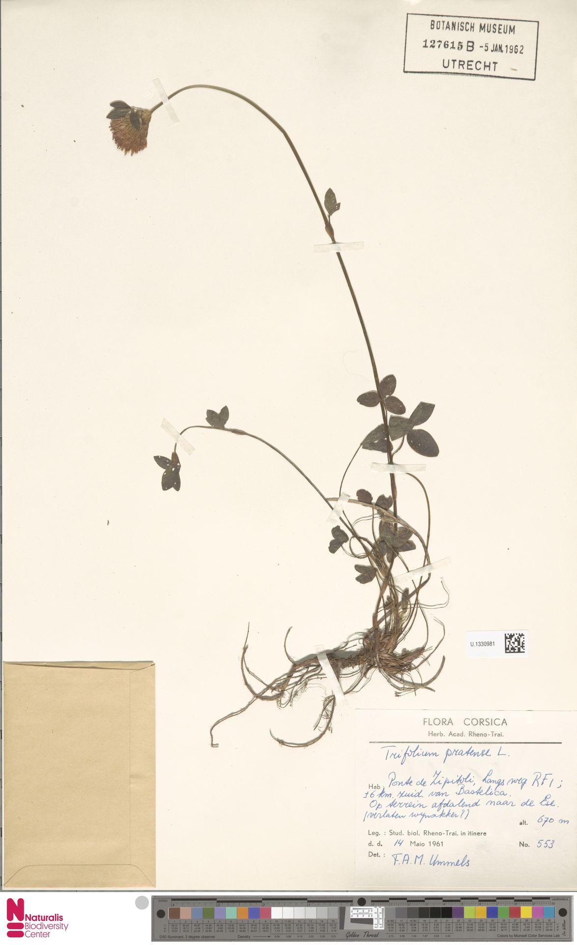 U.1330981 | Trifolium pratense L.