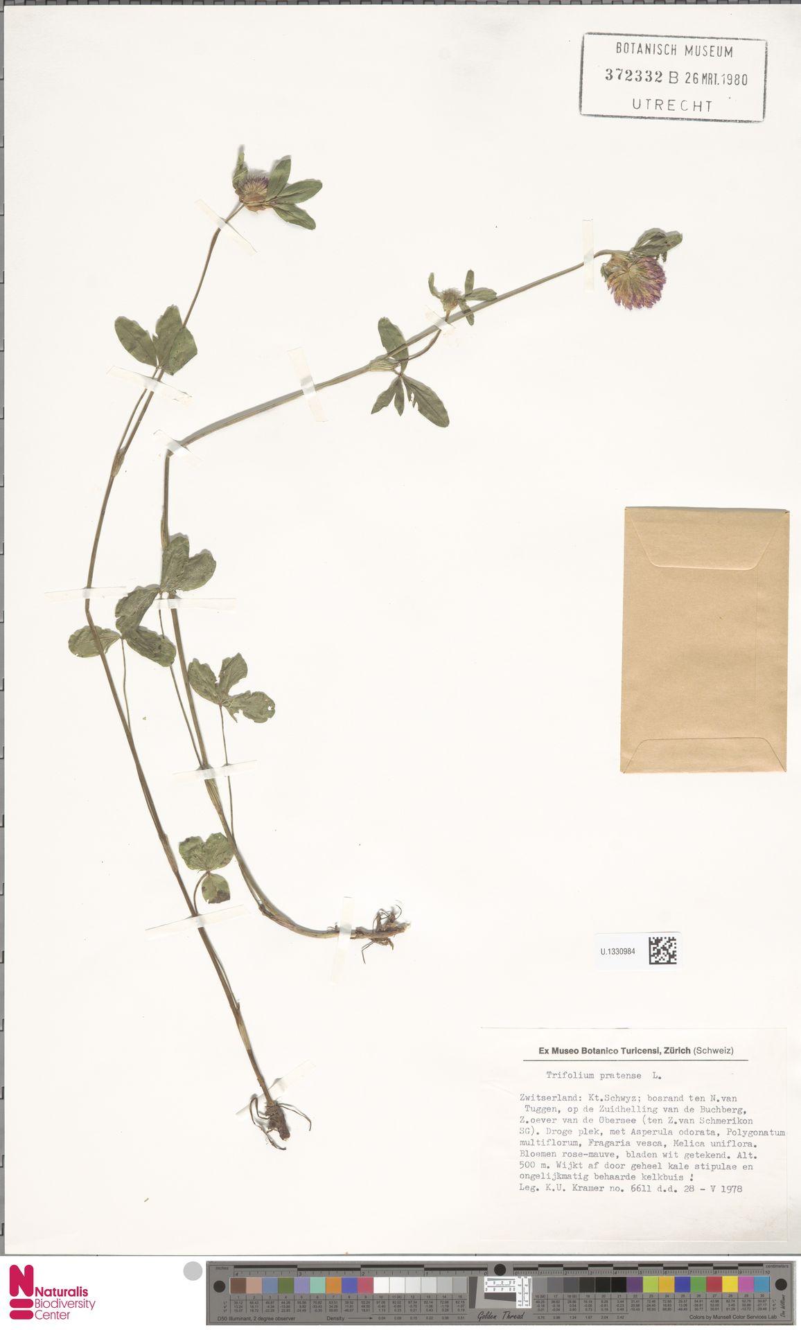 U.1330984 | Trifolium pratense L.