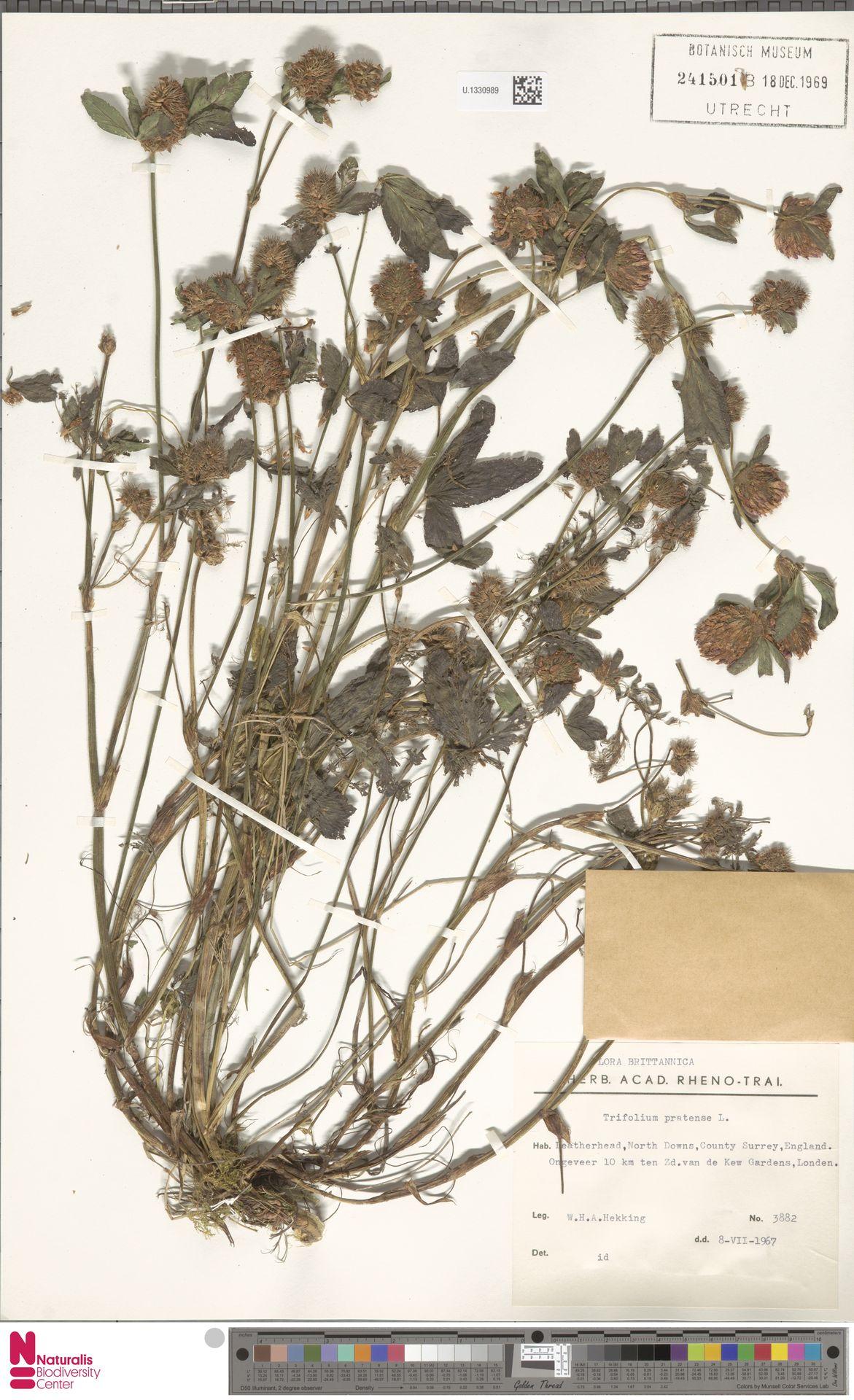 U.1330989   Trifolium pratense L.