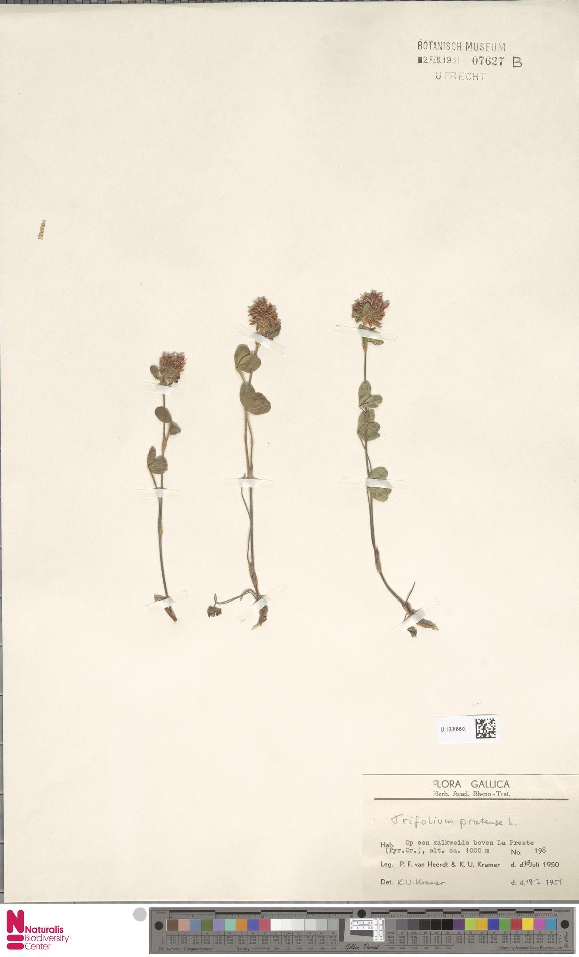 U.1330993   Trifolium pratense L.