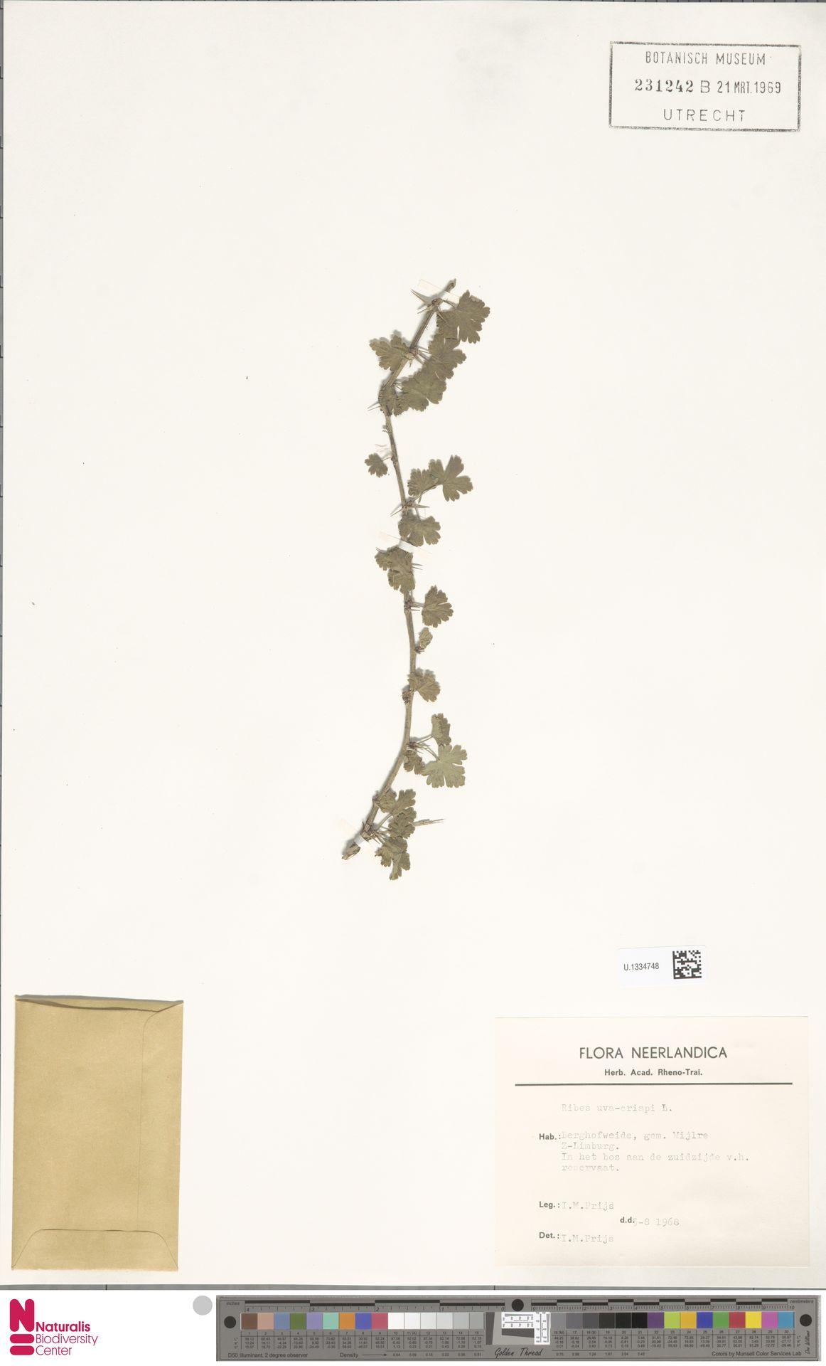 U.1334748 | Ribes uva-crispa L.