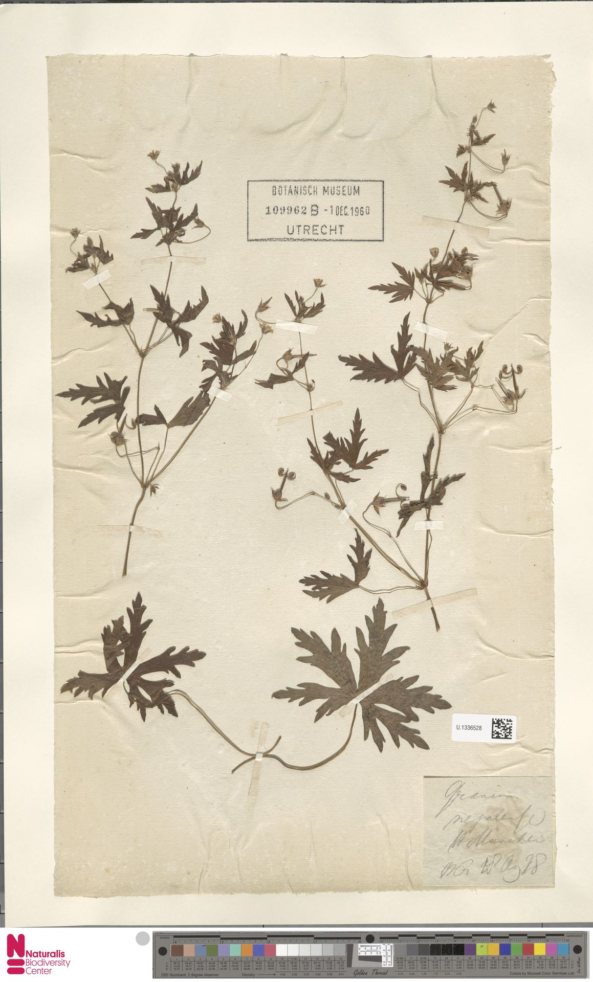 U.1336528 | Geranium nepalense Sweet