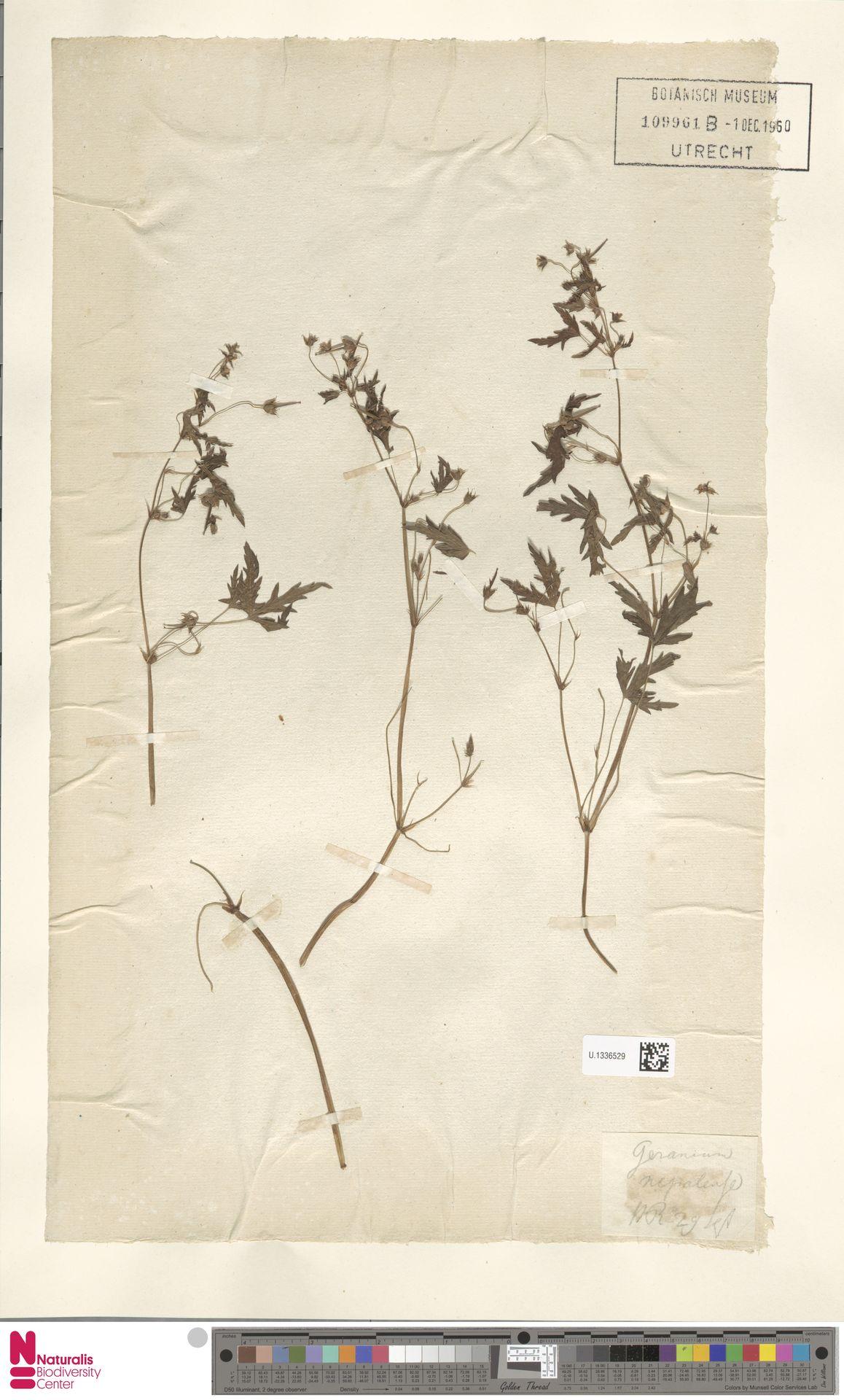 U.1336529 | Geranium nepalense Sweet