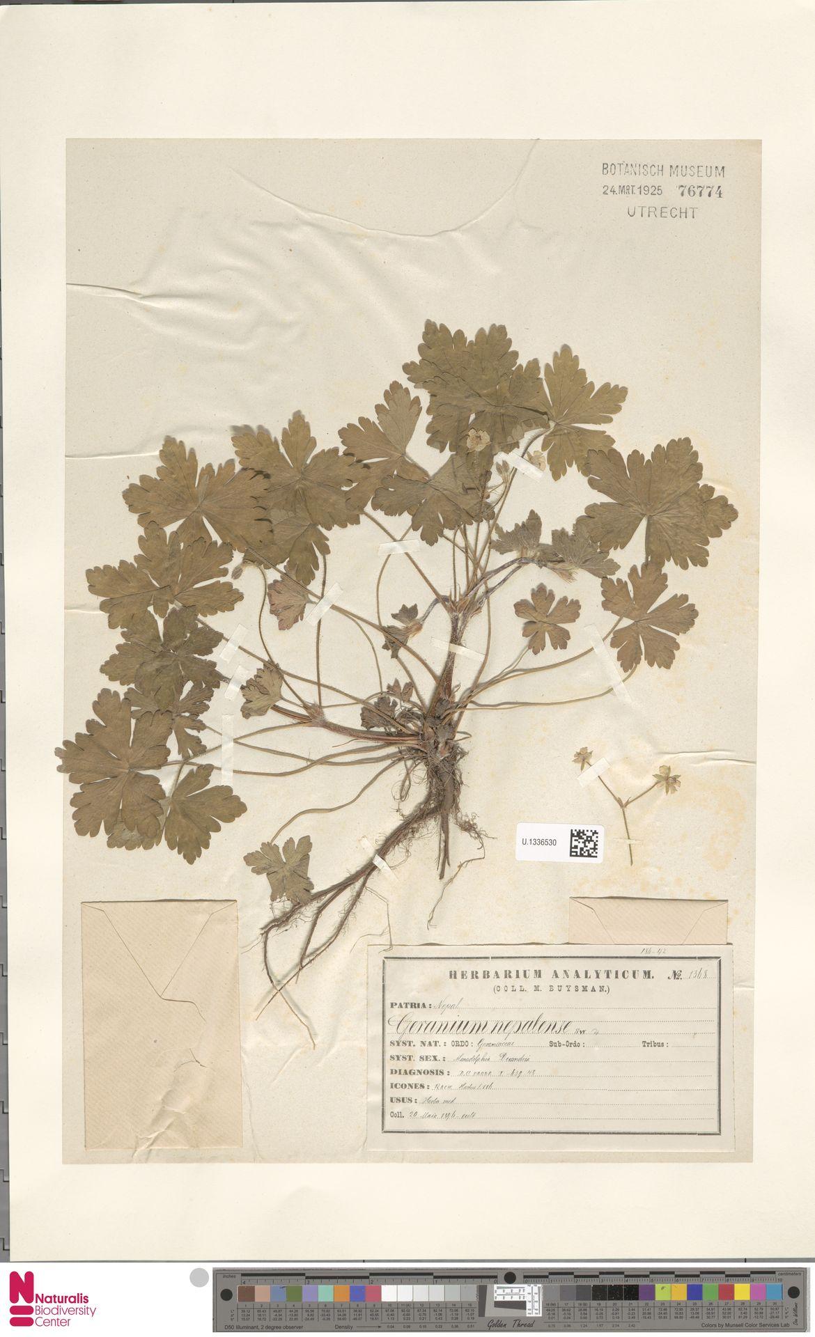 U.1336530 | Geranium nepalense Sweet