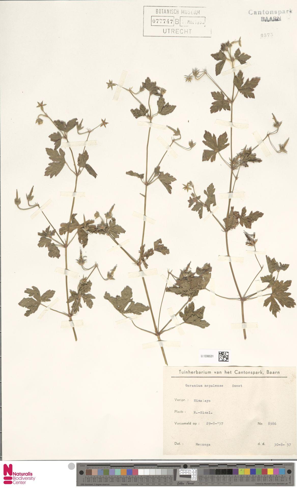 U.1336531 | Geranium nepalense Sweet