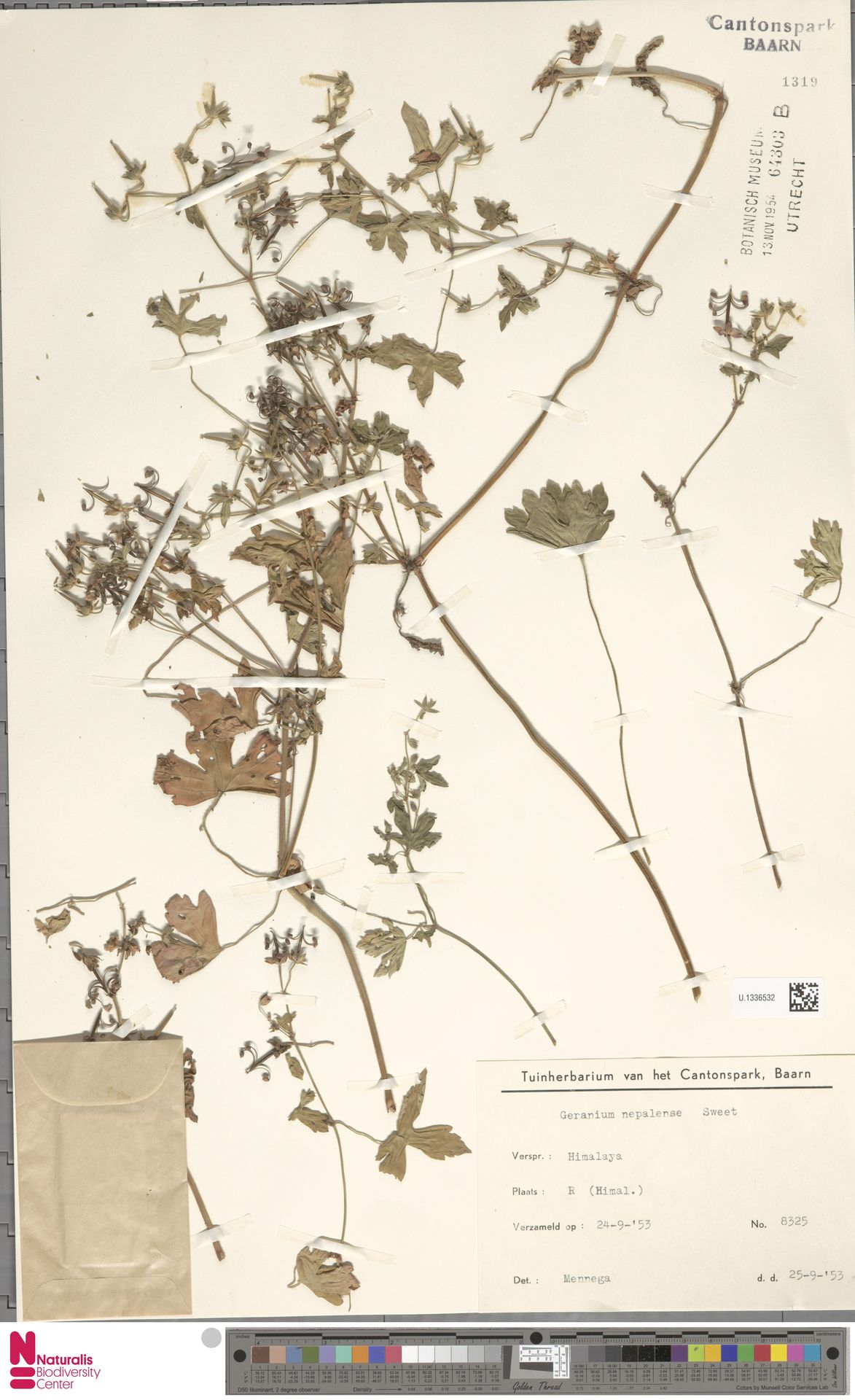 U.1336532 | Geranium nepalense Sweet
