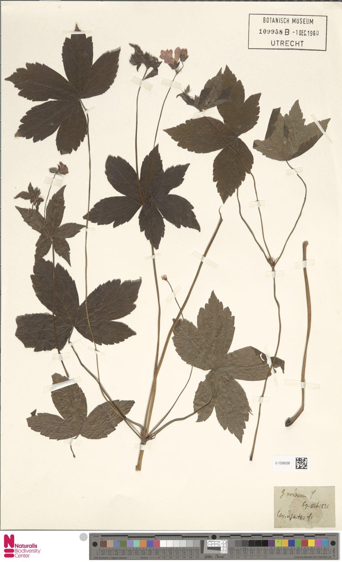 U.1336536 | Geranium nodosum L.