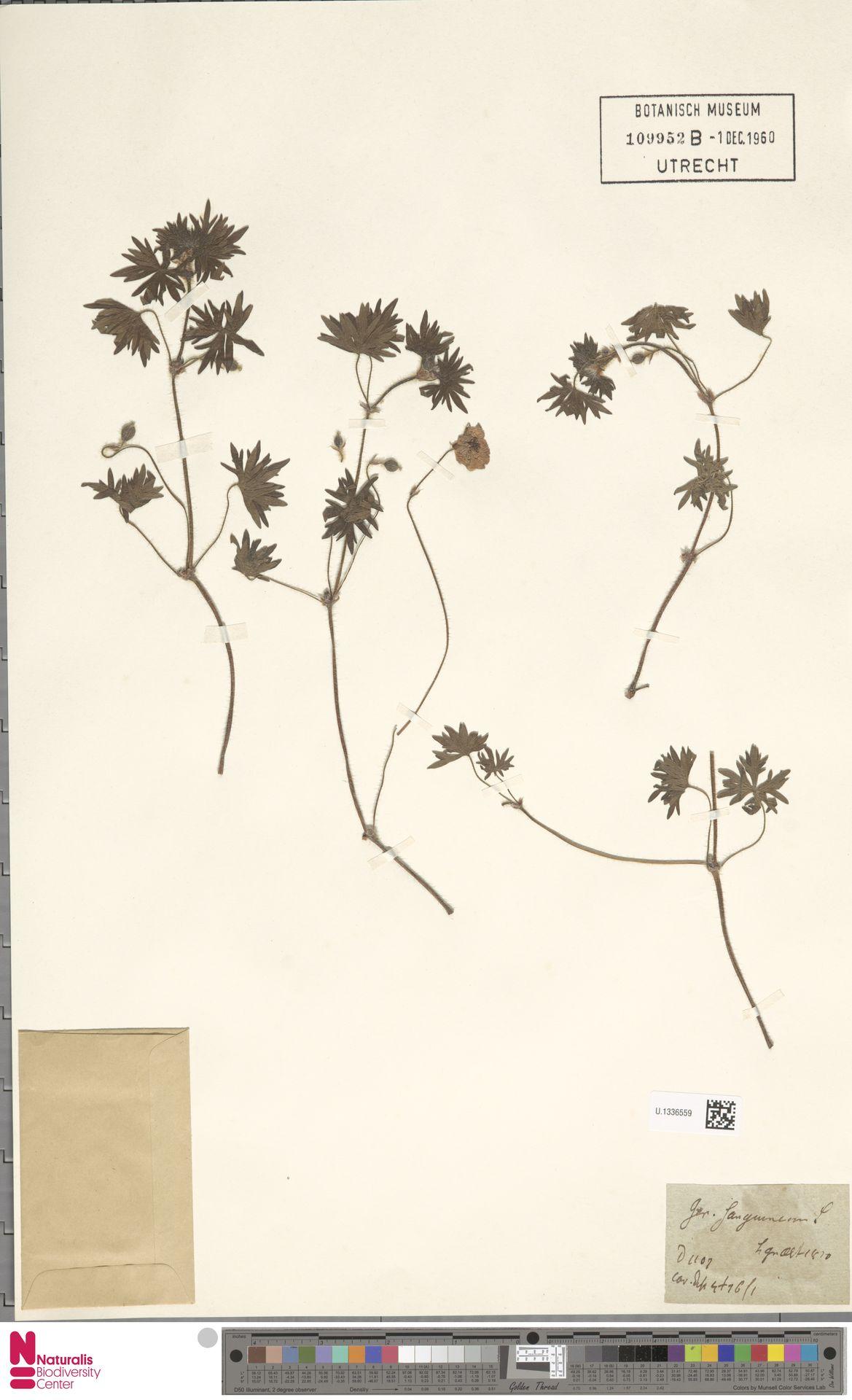 U.1336559 | Geranium sanguineum L.