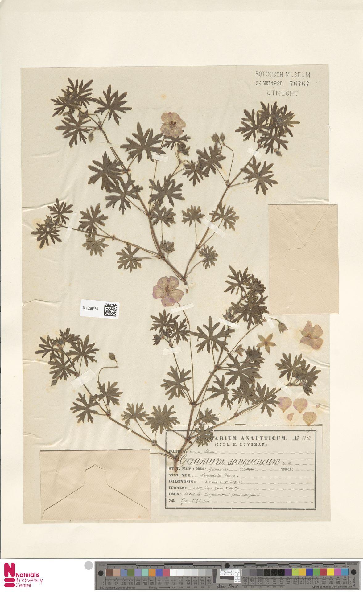 U.1336560 | Geranium sanguineum L.