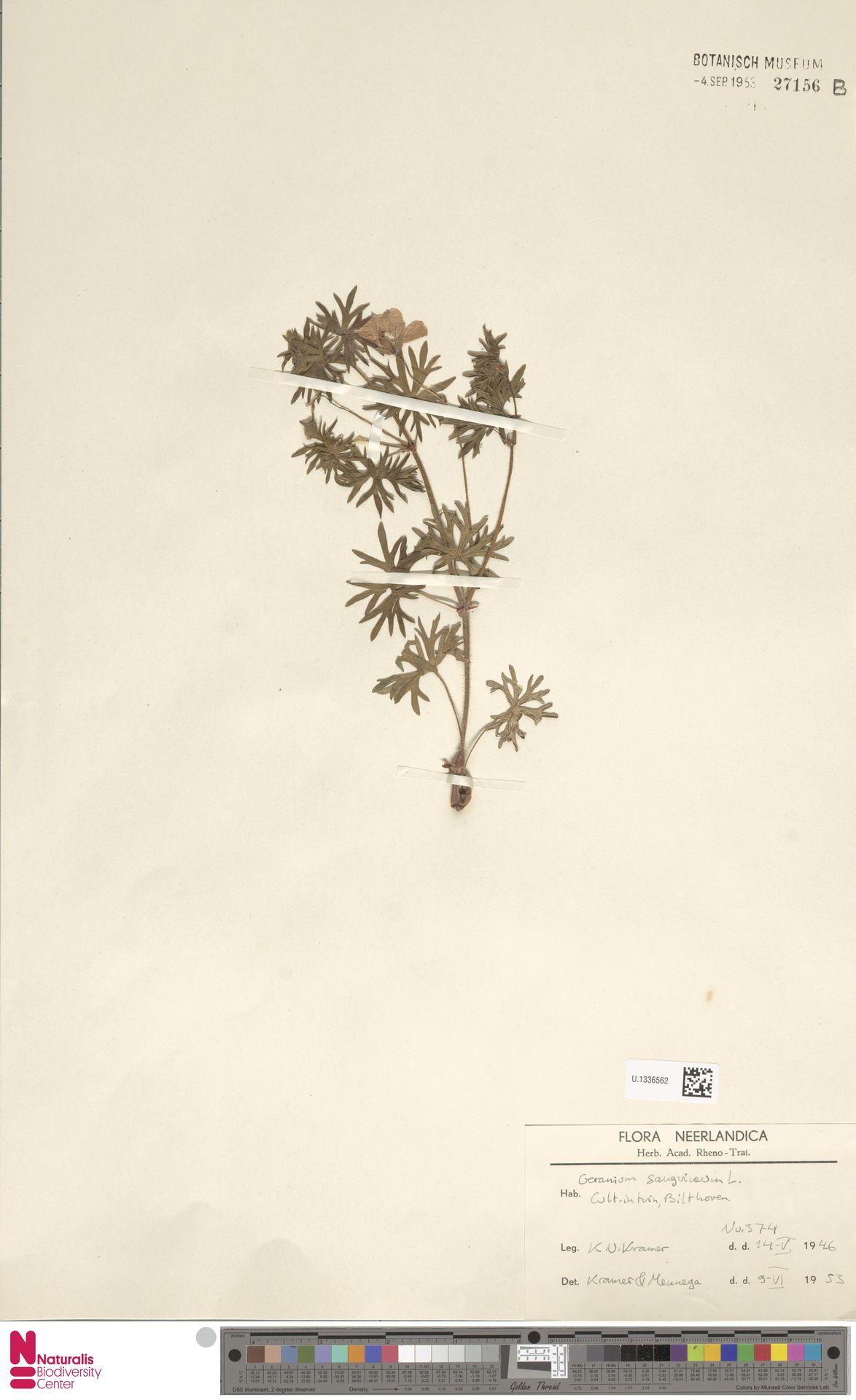 U.1336562 | Geranium sanguineum L.