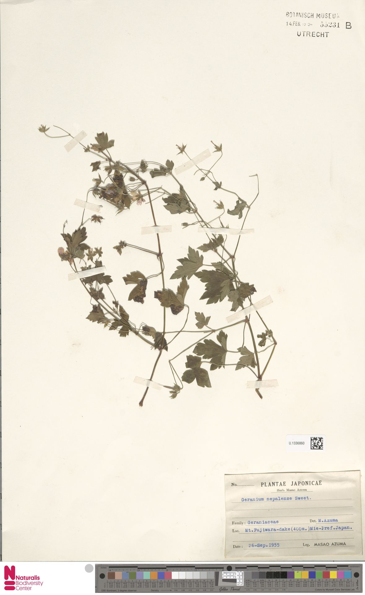U.1336860 | Geranium nepalense Sweet