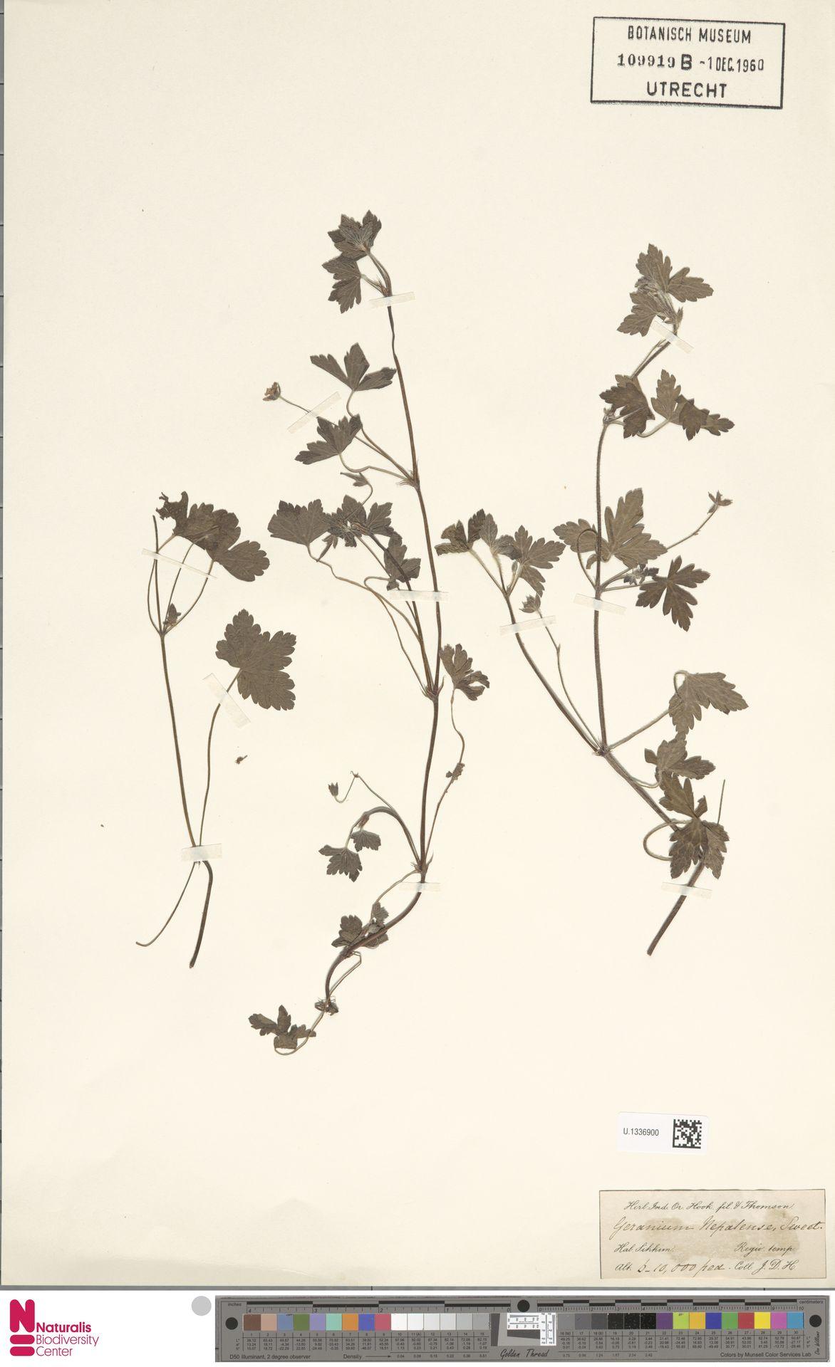 U.1336900 | Geranium nepalense Sweet
