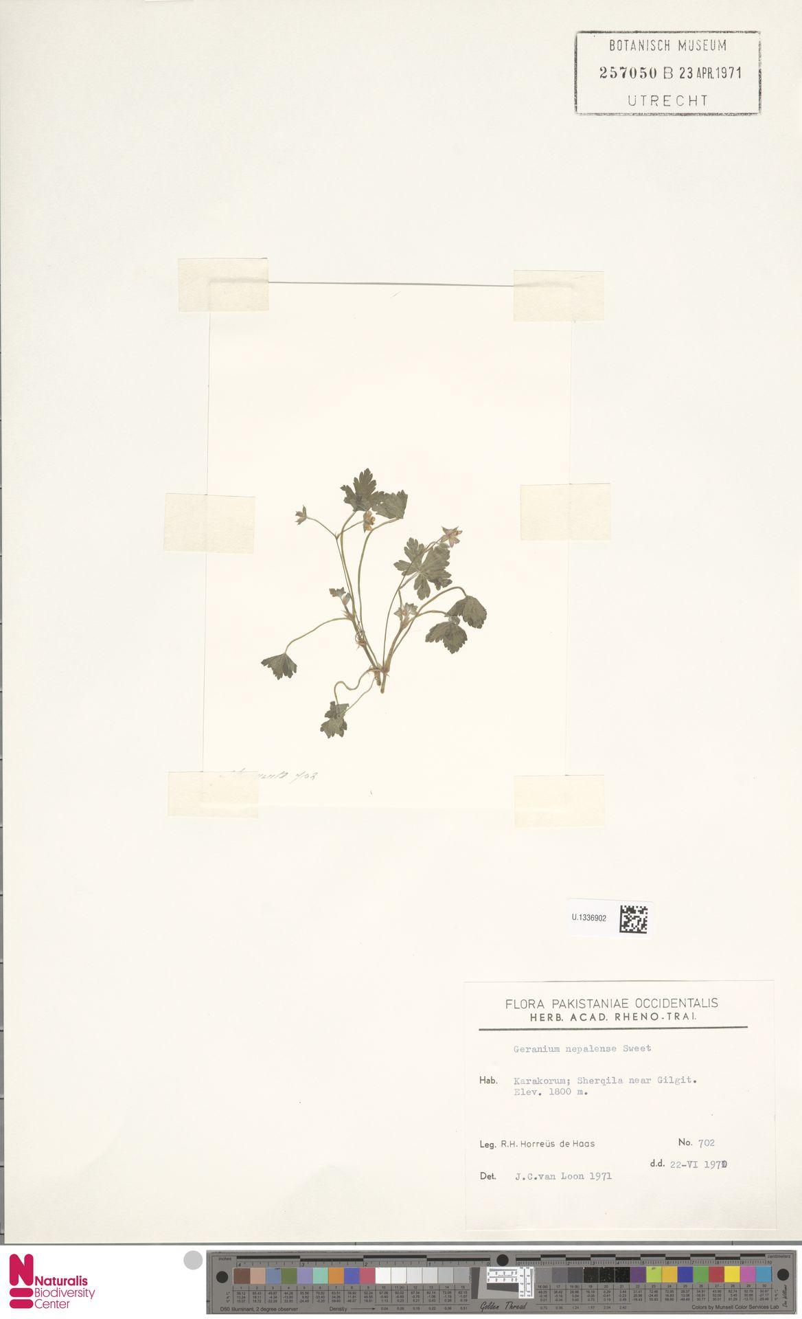 U.1336902 | Geranium nepalense Sweet